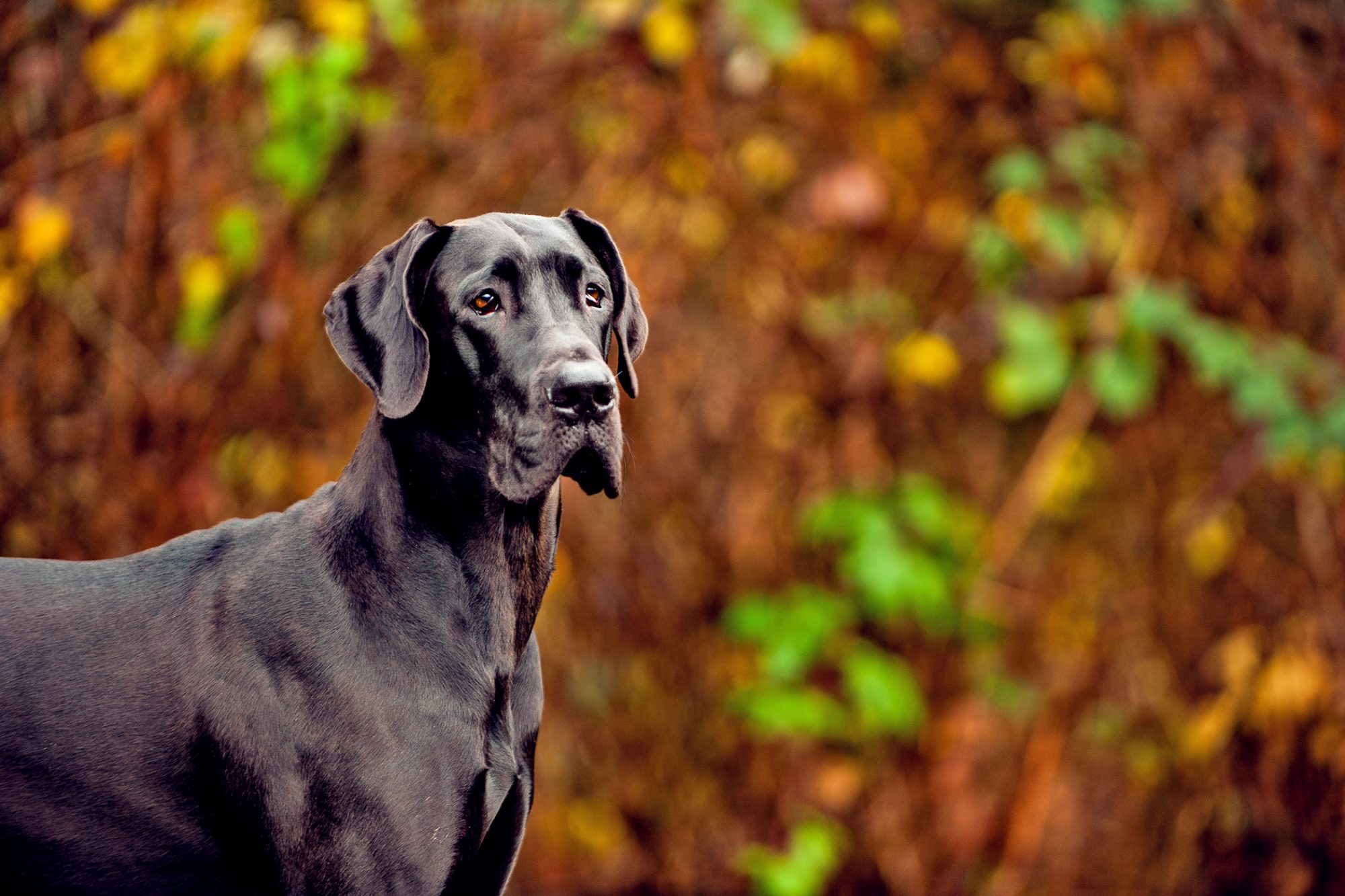 Black Great Dane standing in front of trees
