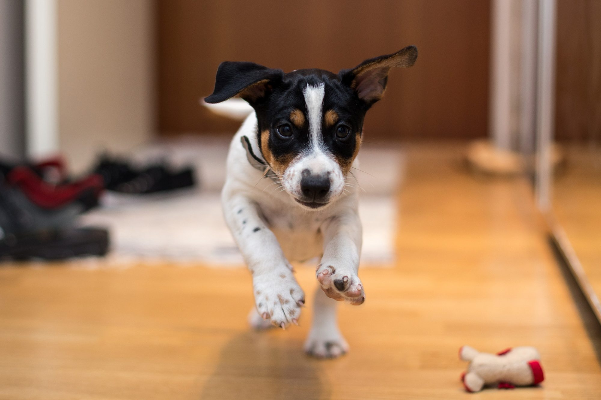 Dog running in house
