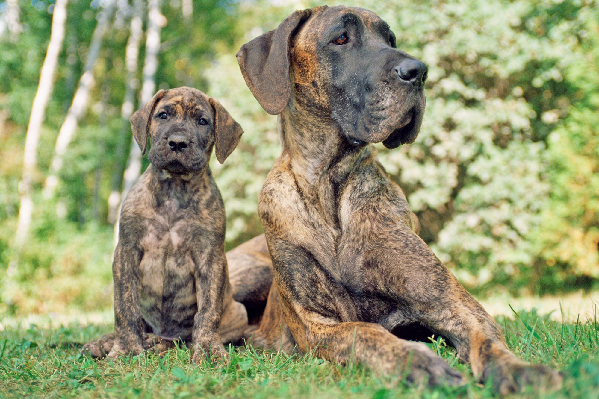Great Dane with her puppy