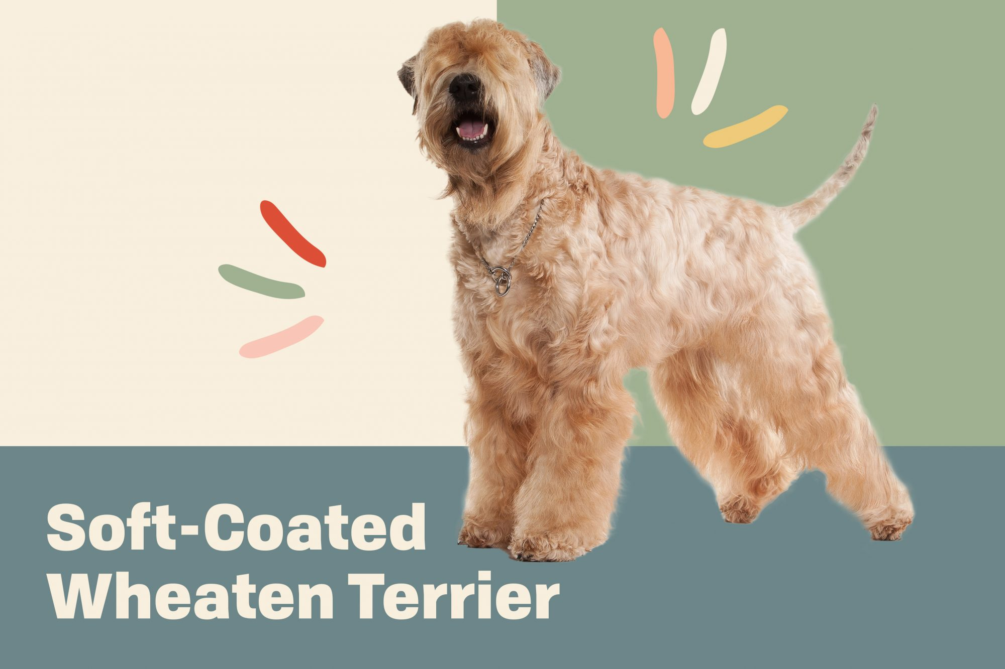 Breed hero image of Soft-coated wheaten terrier