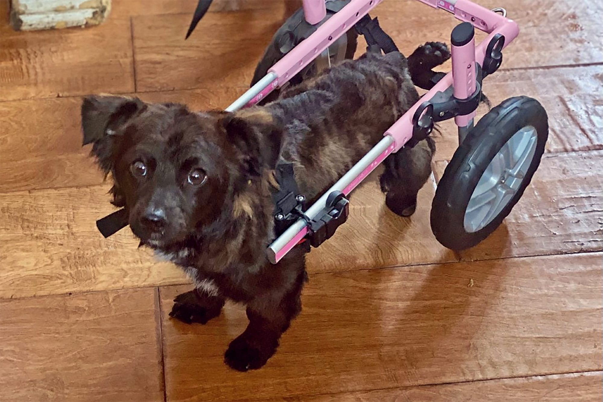 Small black dog uses wheelchair