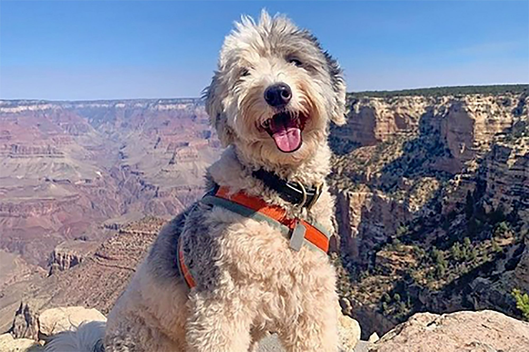 Fluffy dog with orange harness poses in front of Grand Canyon