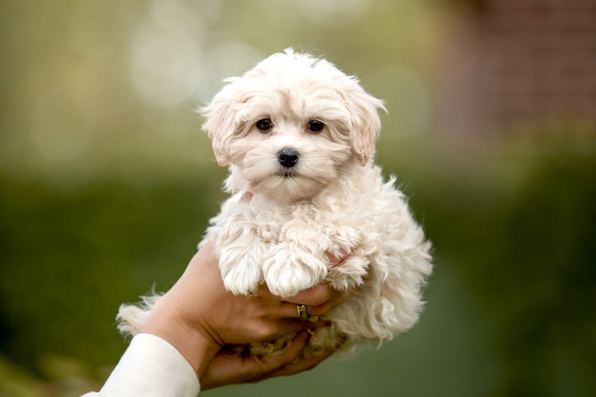 white blonde maltipoo puppy hed in person's two hands