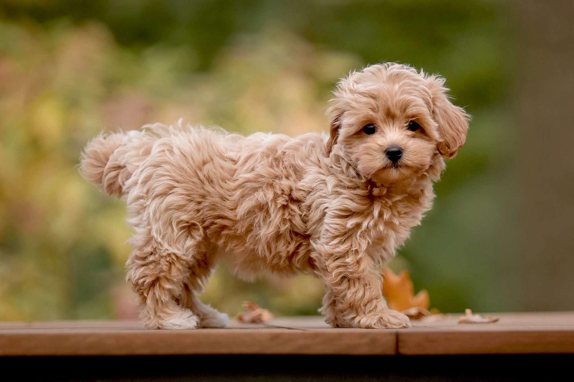 Reddish blonde maltipoo puppy stands sideways on table outdoors