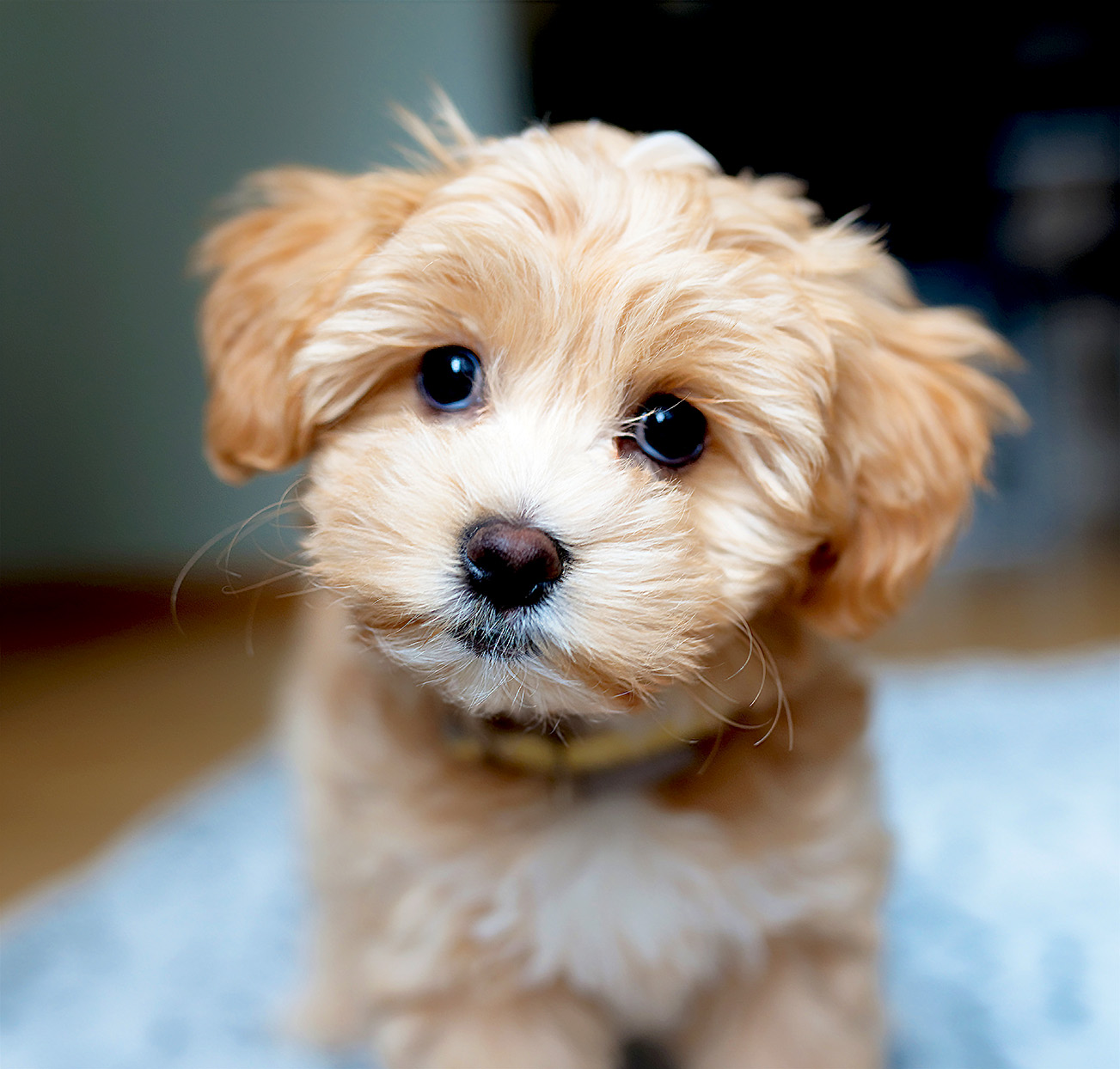 Portrait of blonde maltipoo puppy