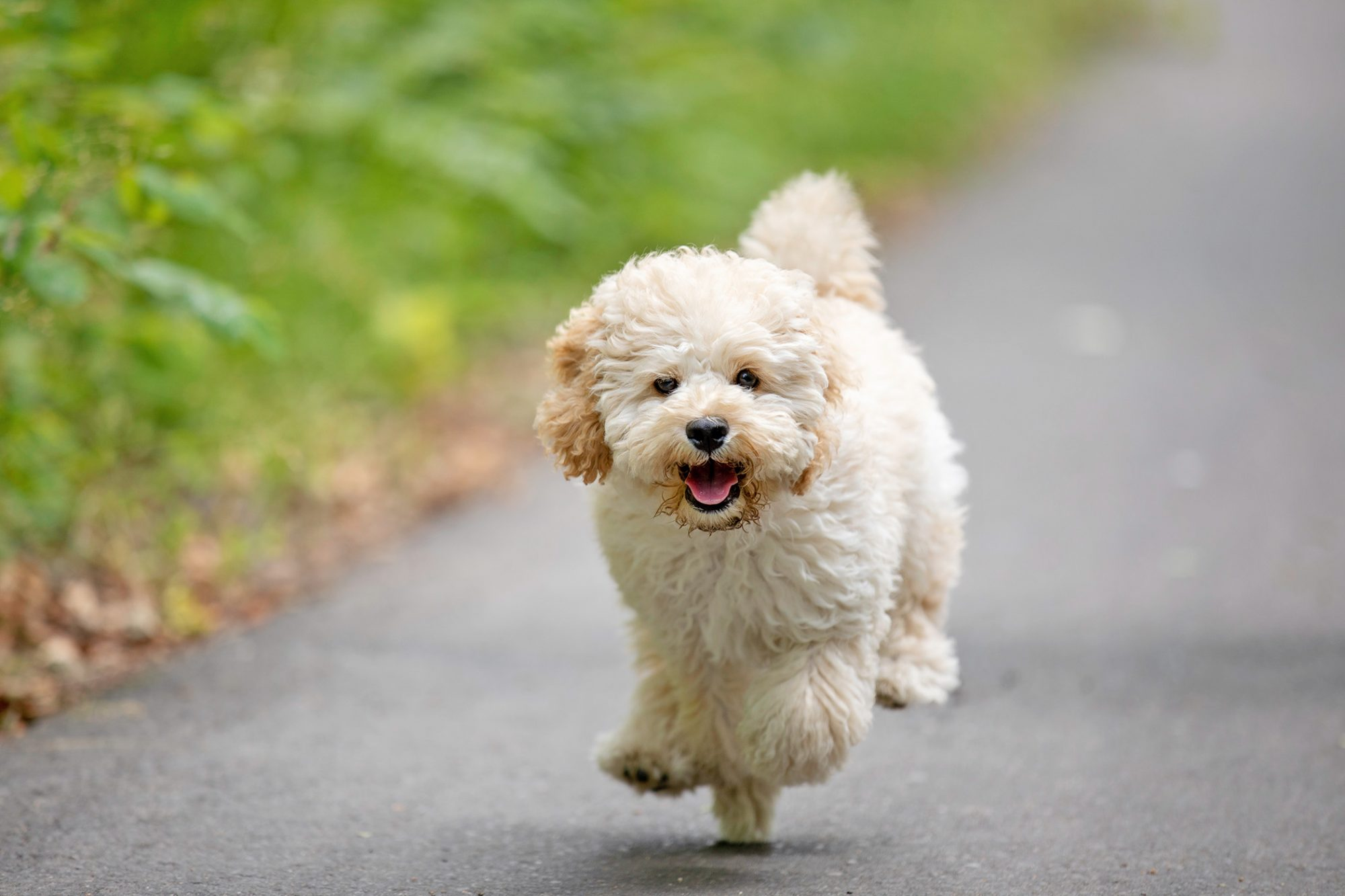 White Maltipoo puppy runs down paved country road
