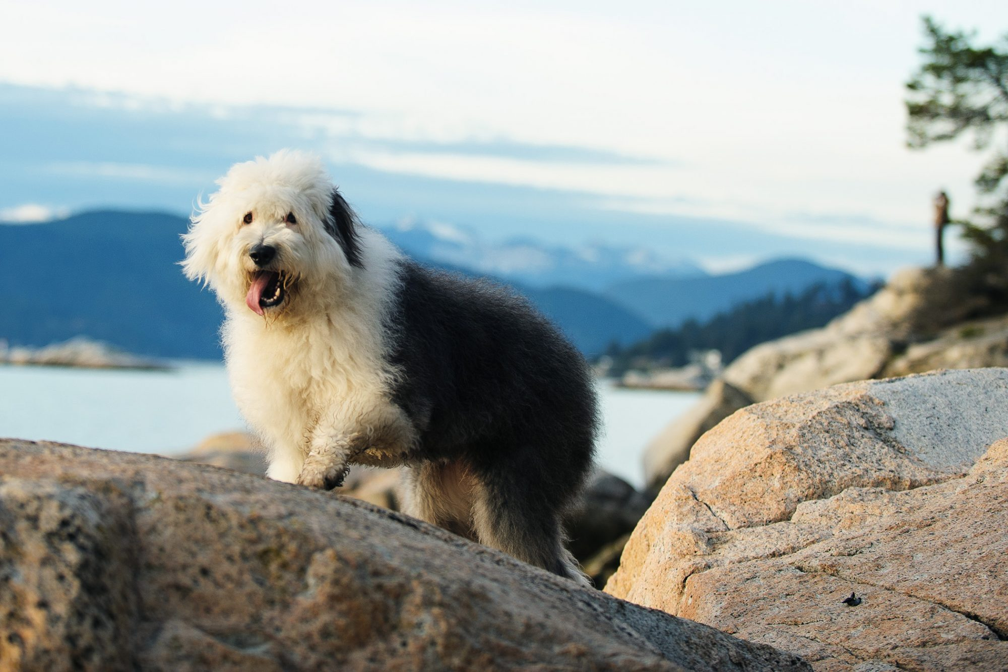 Picture of old English sheepdog walking on boulders