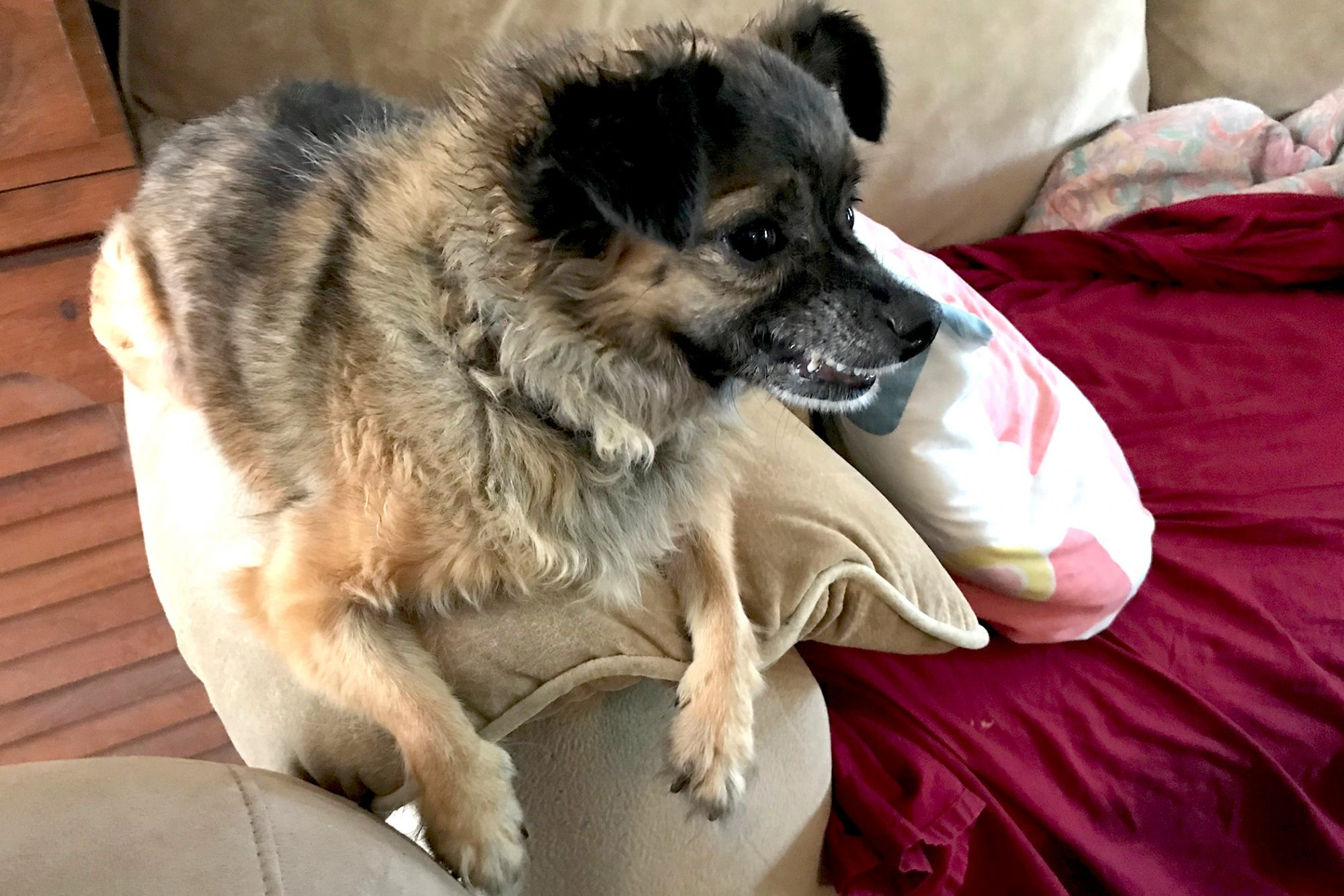 small dog sitting on the arm of a couch