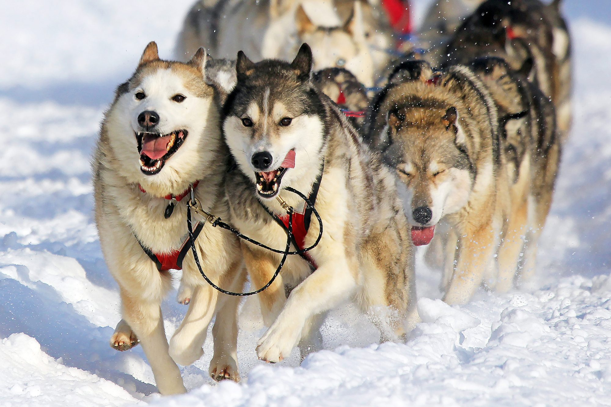 Siberian Huskies running in a dog sled race