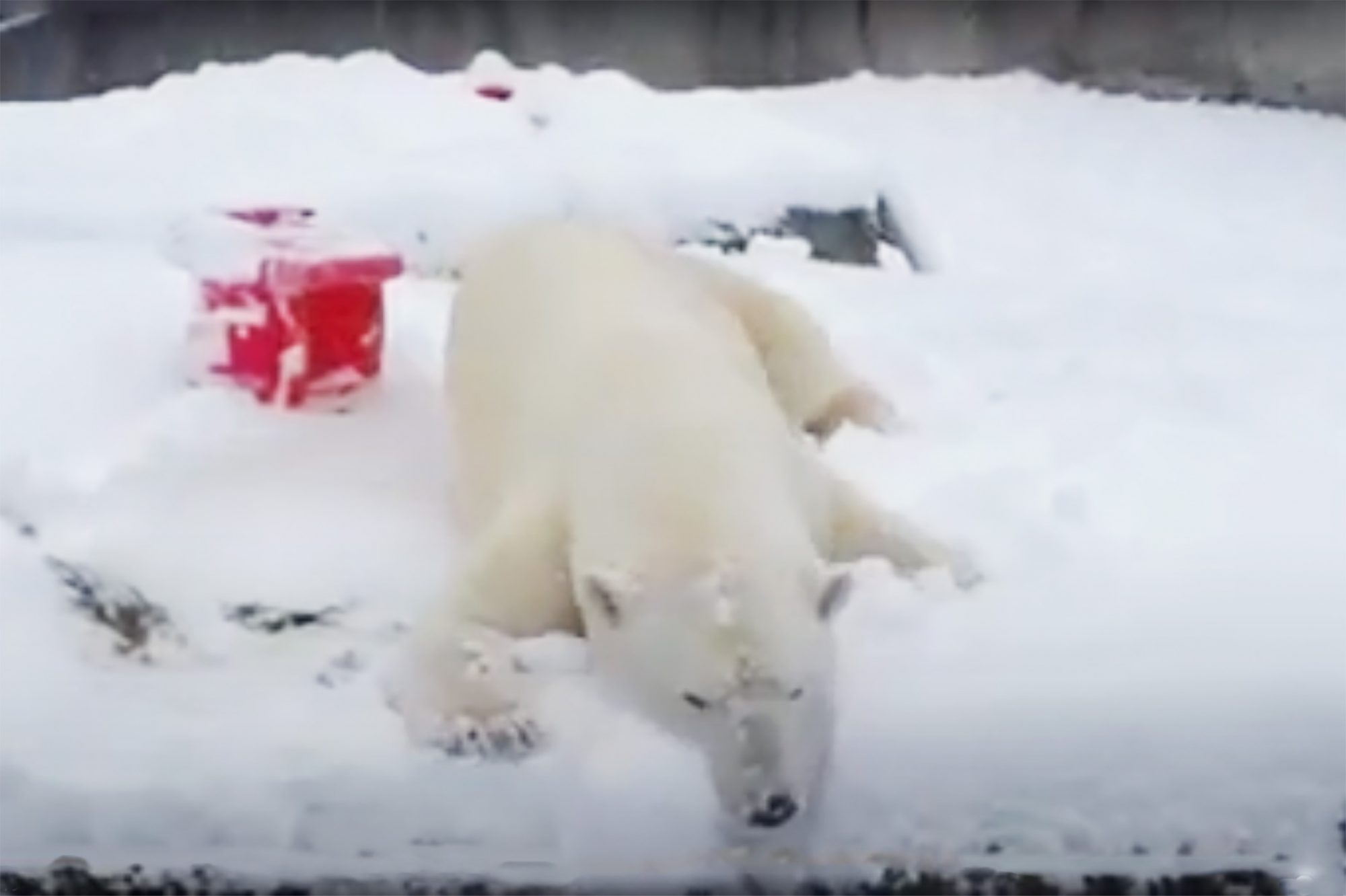 polar bear enjoying the snow