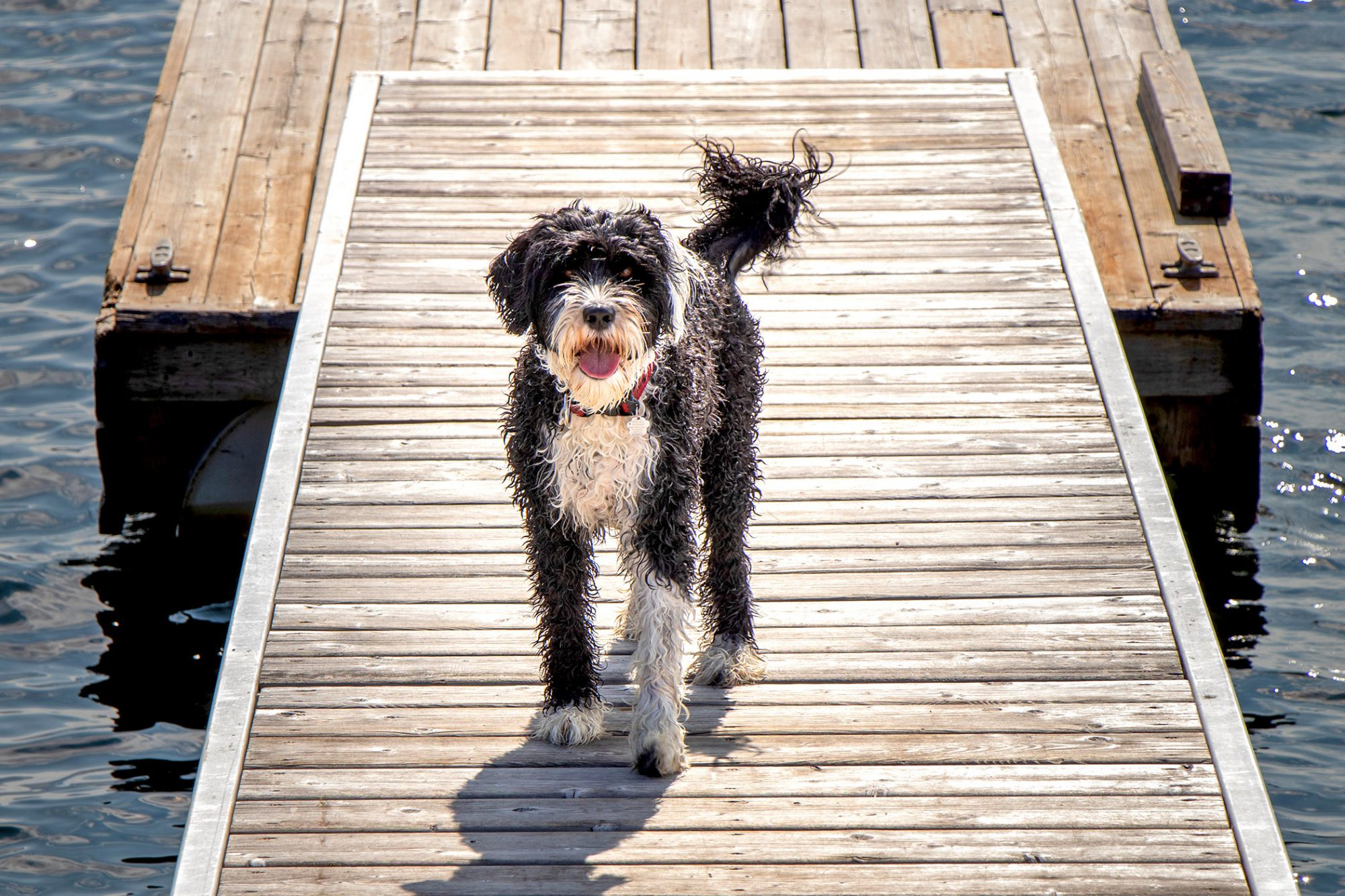 Portuguese Water Dog on dock