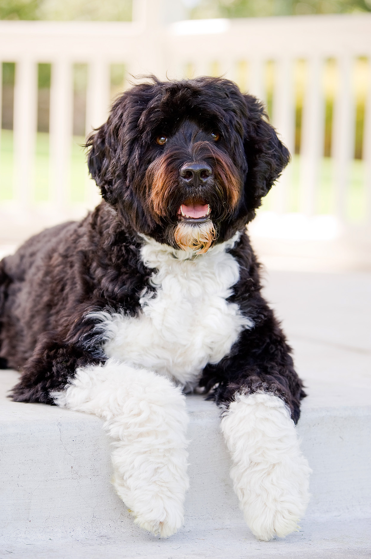 Black and white Portuguese Water Dog laying in front of deck
