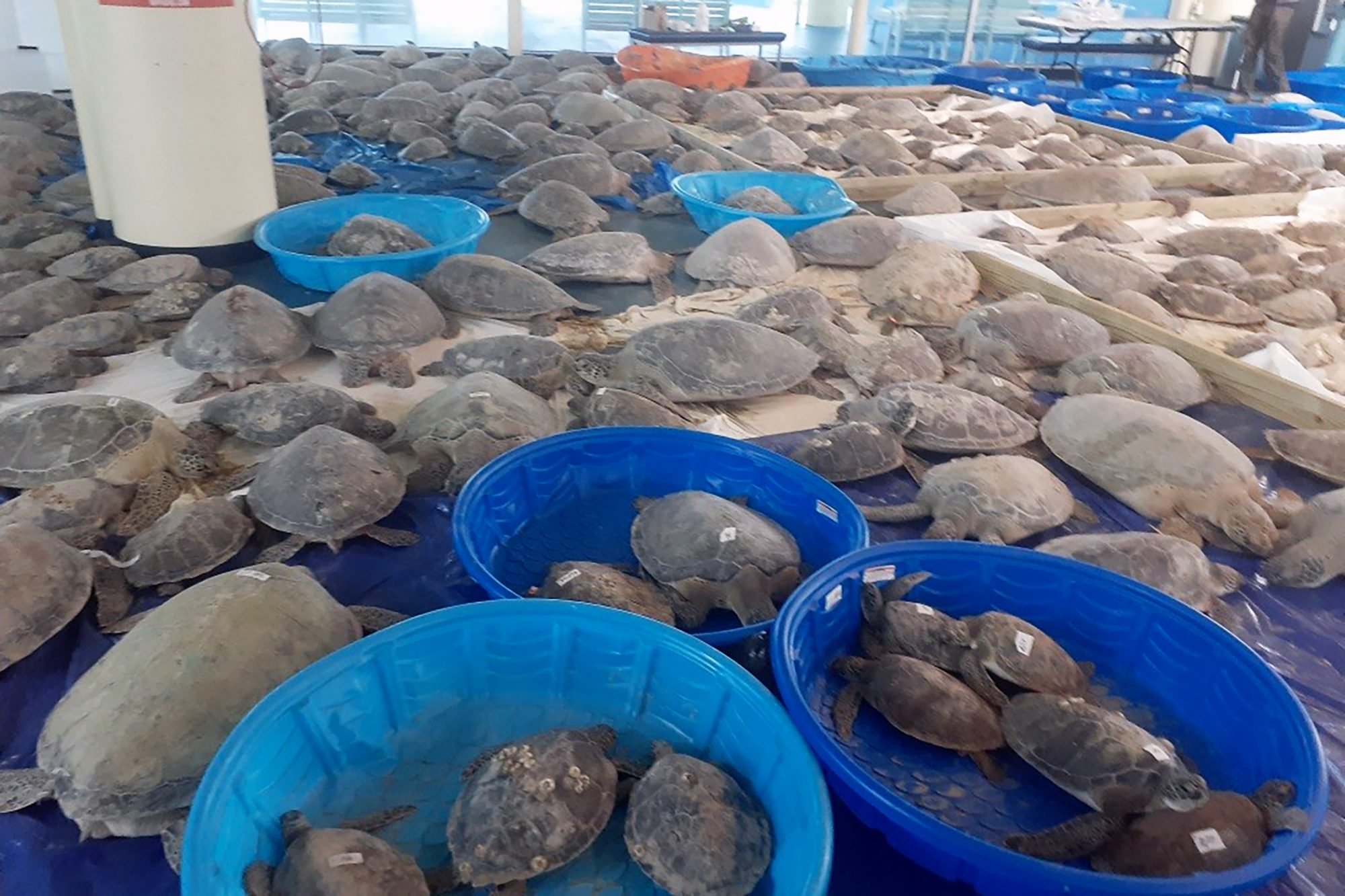 room full of thousands of saved turtles
