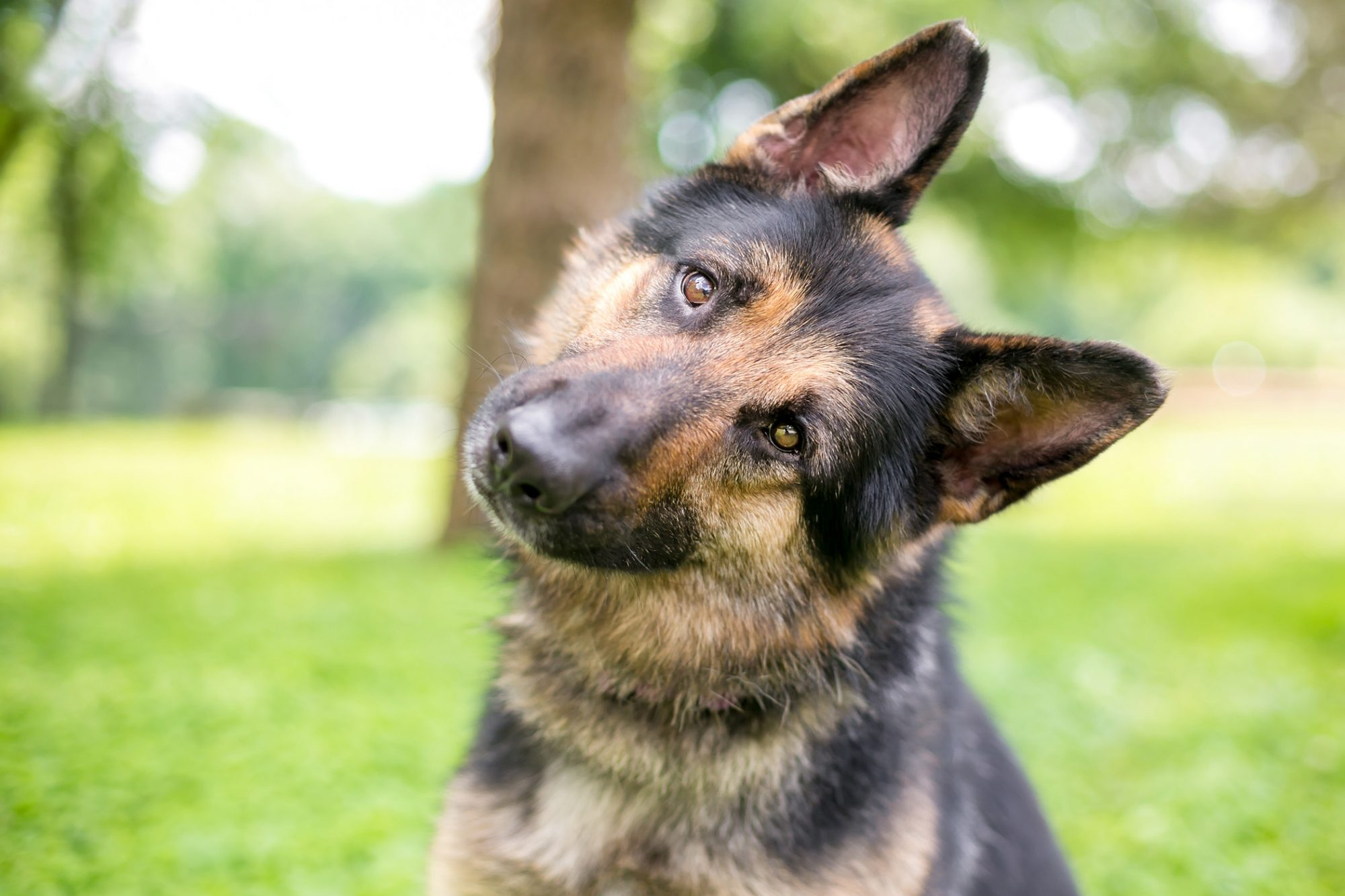 German shepherd tilts head at camera
