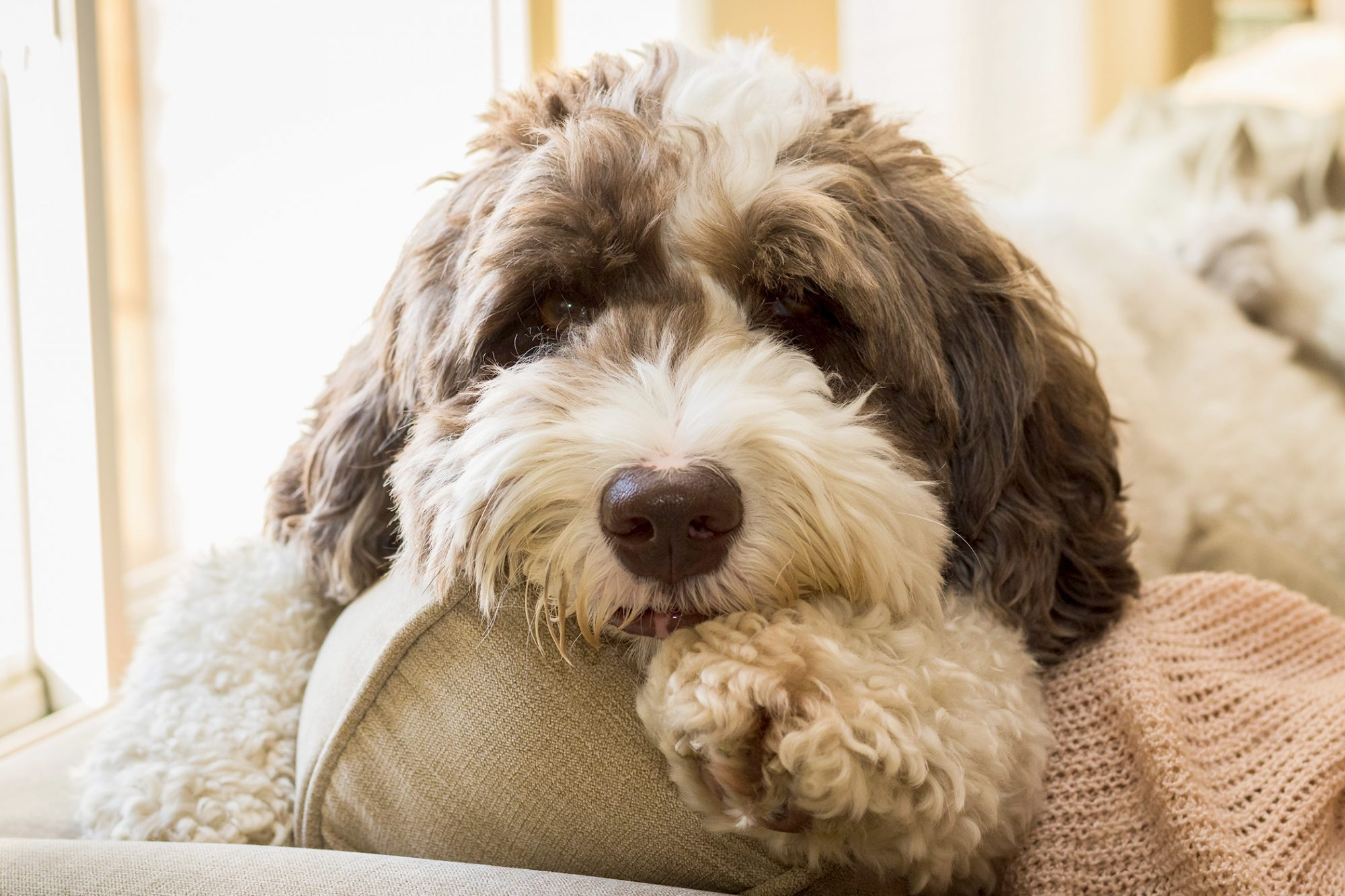 Brown and white labradoodle lays on beige couch inside