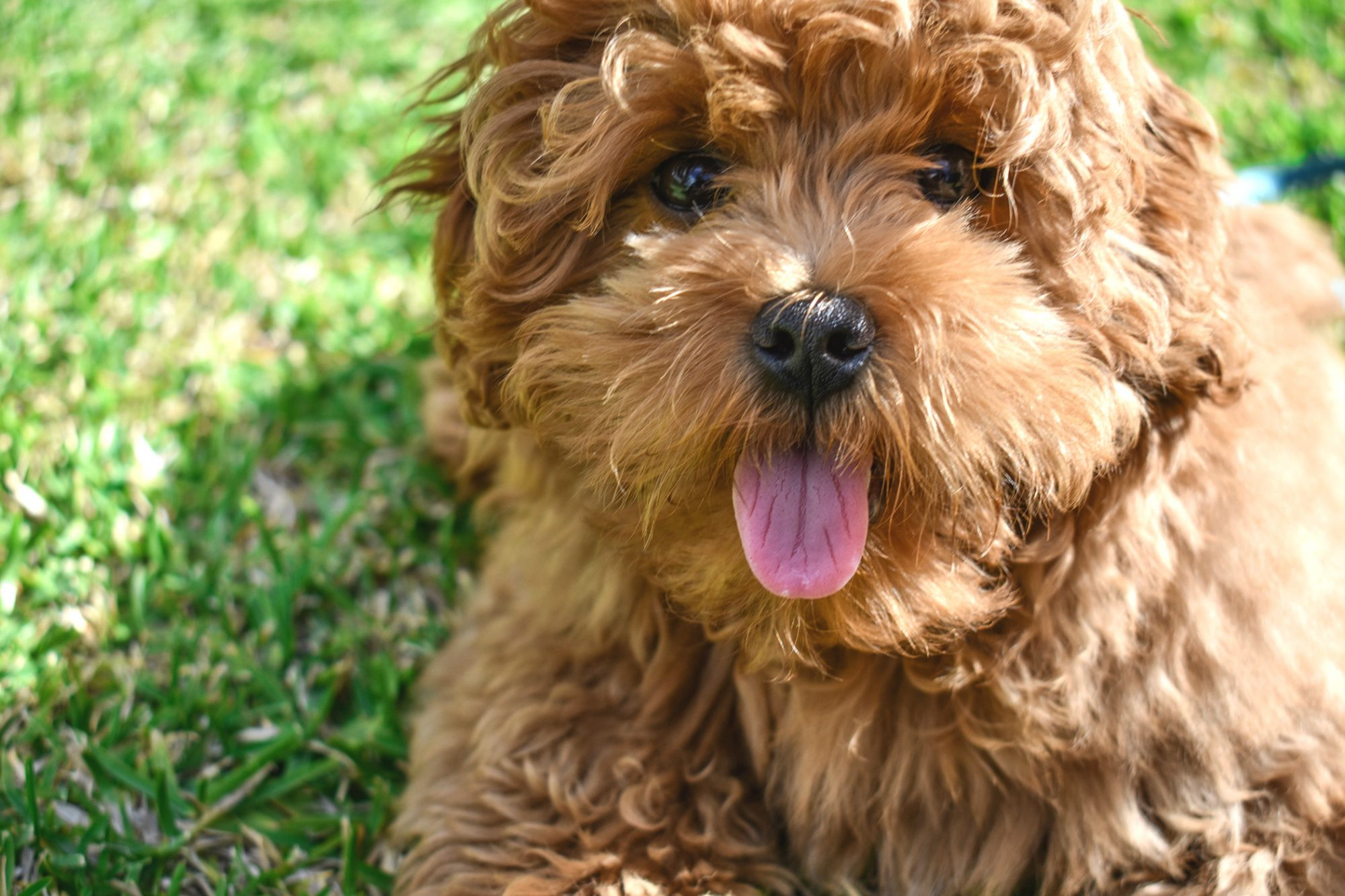 Caramel labradoodle sticks tongue out while laying in grass