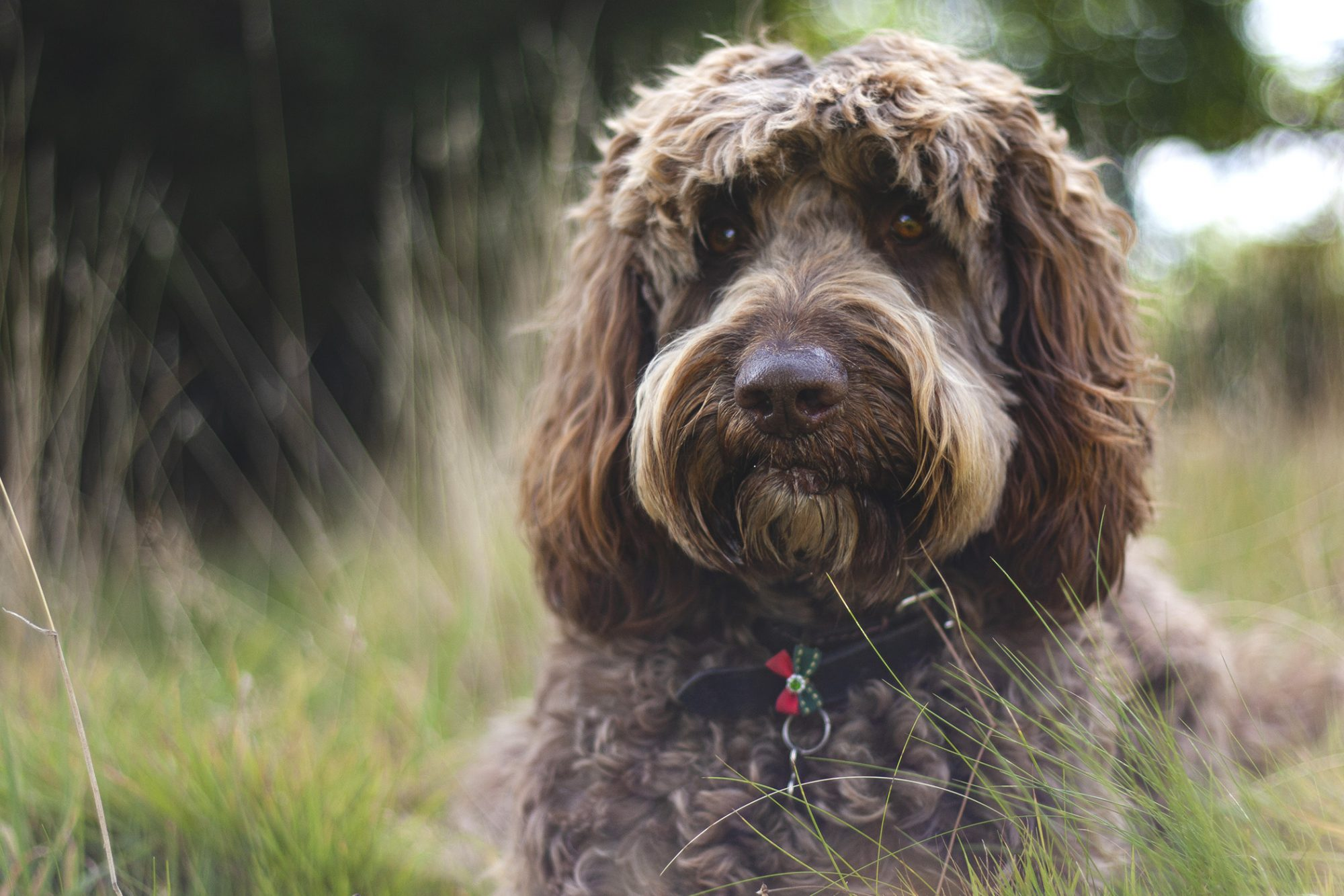 Chocolate labradoodle lays in grassy field
