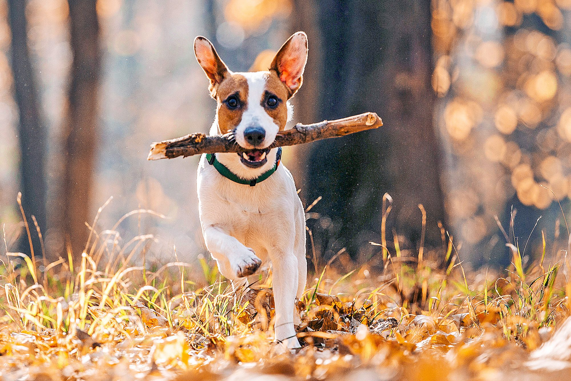 Jack Russell Terrier running with stick