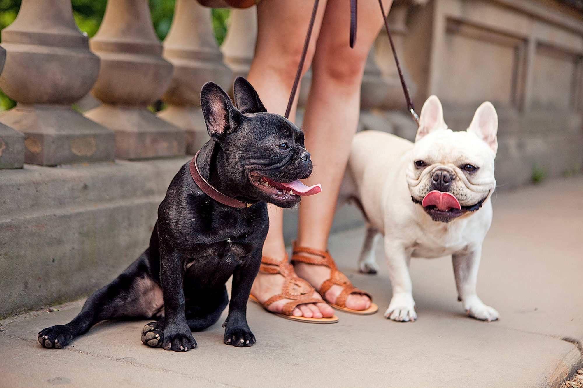 two french bulldogs on leashes