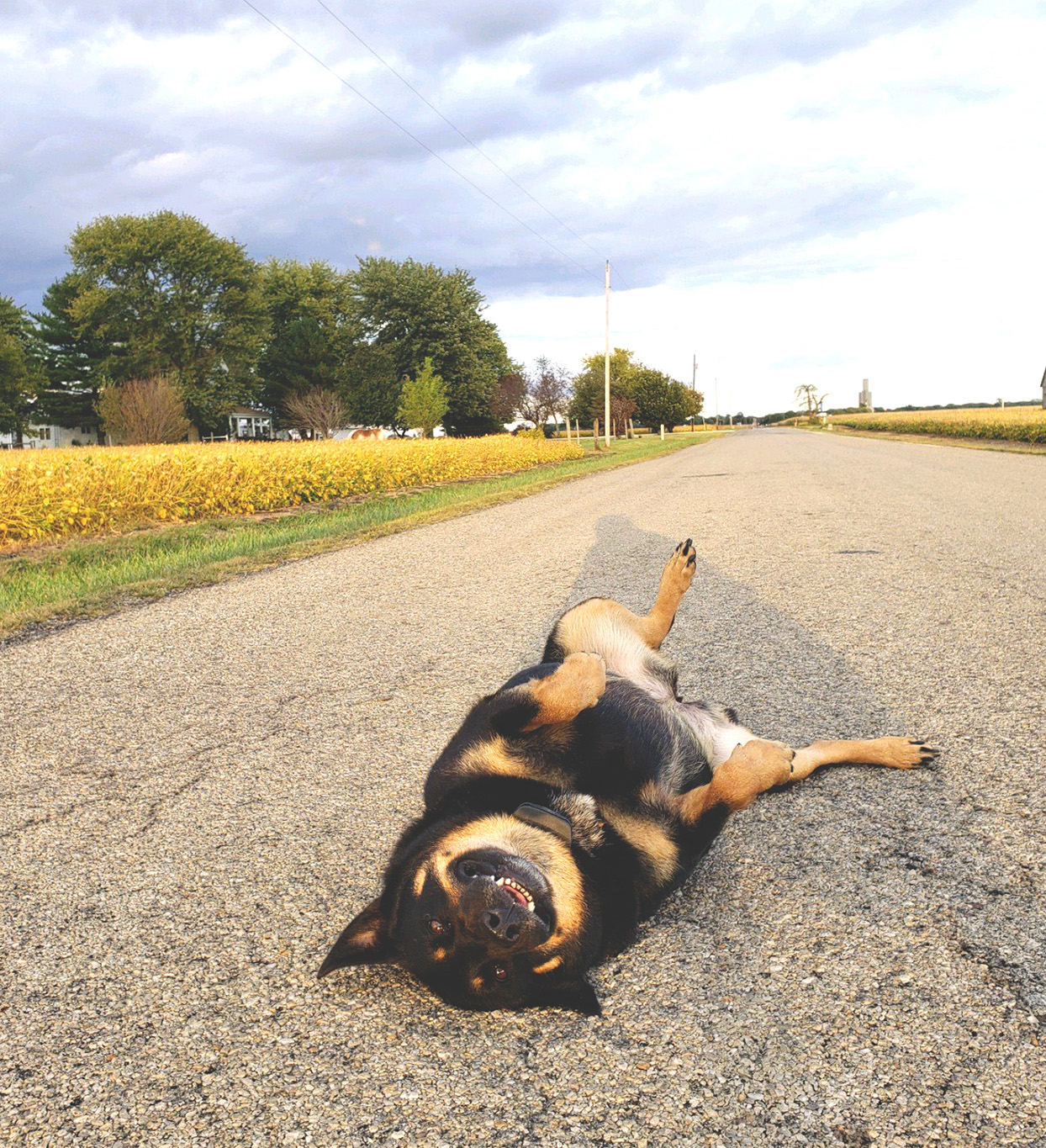german shepherd laying on his back in the middle of the road