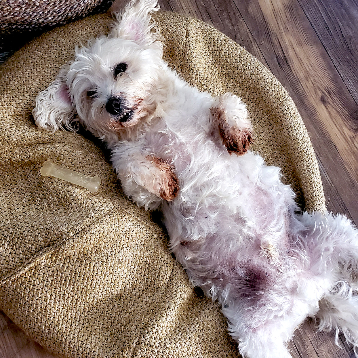 white dog laying on his back on a large tweed pillow