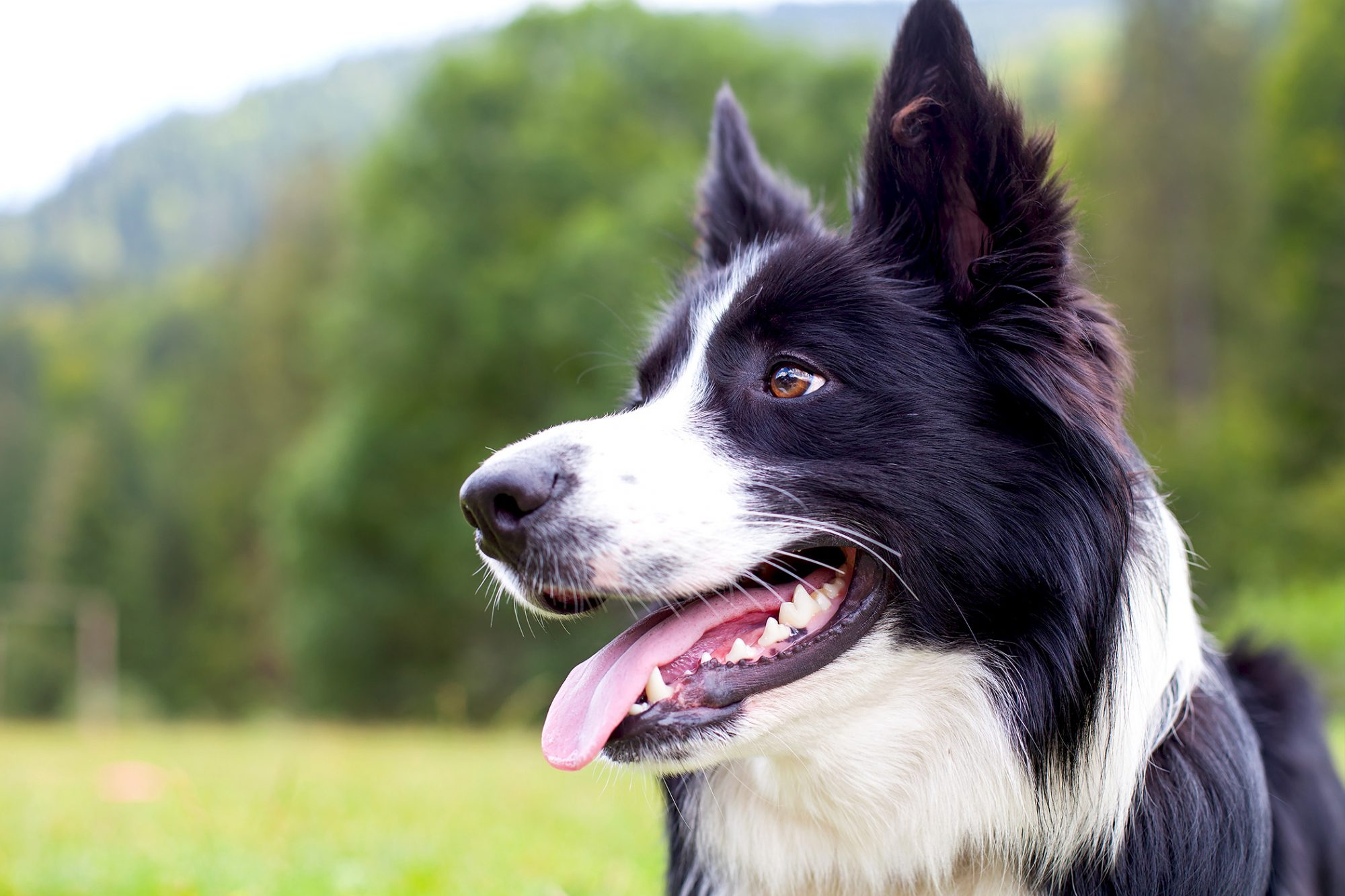 Profile shot of border collie outdoors near grassy field