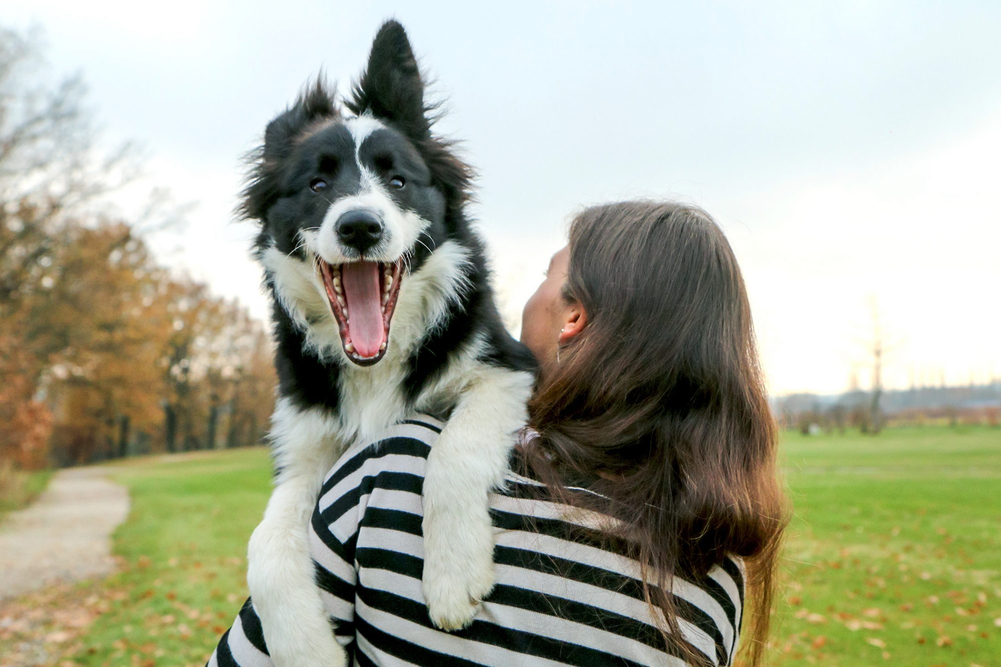 Large black and white border collie lays on shoulder of standing adult woman