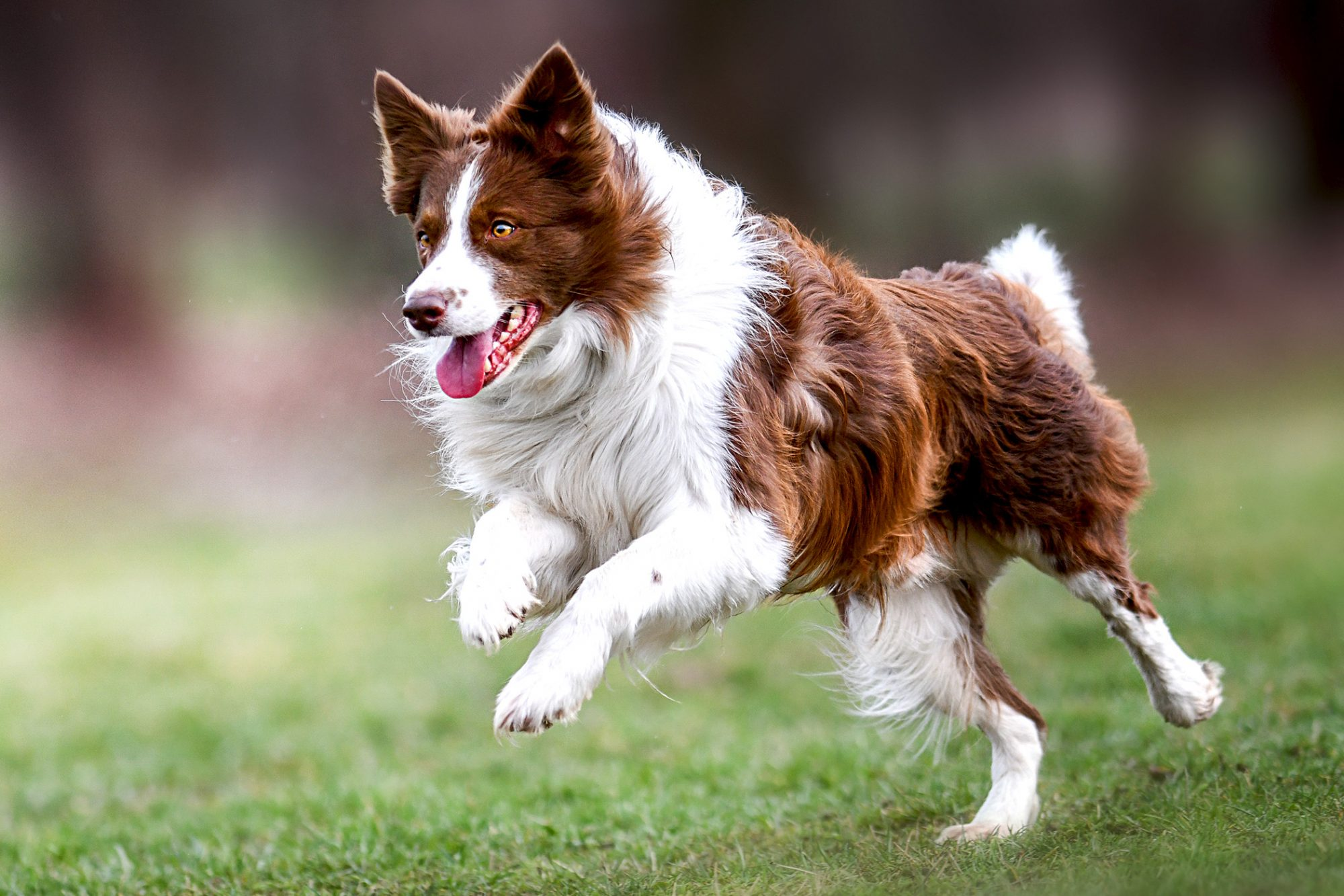 Copper and white border collie bounds across grass