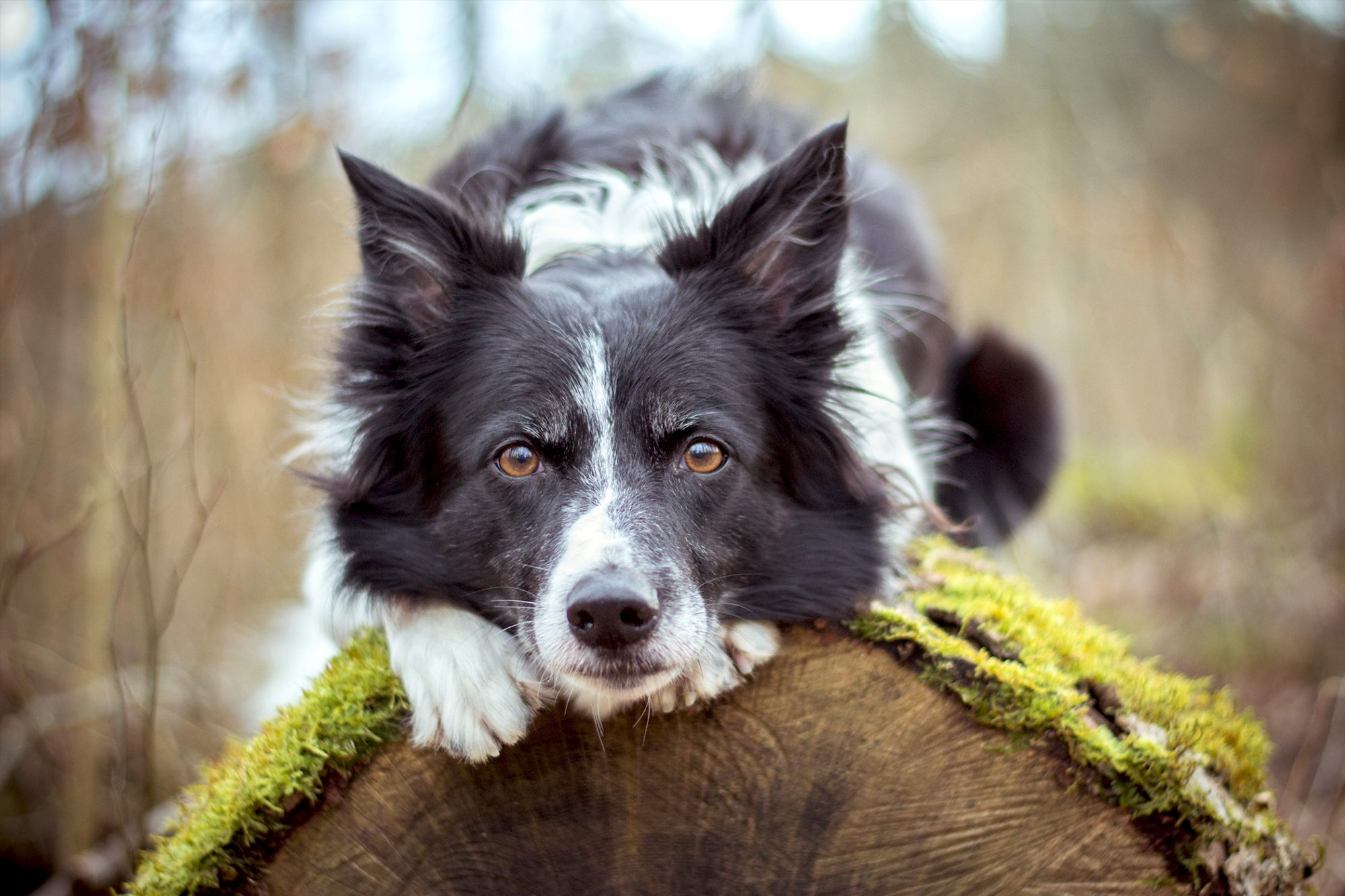 Border collie lays on top of mossy tree stump