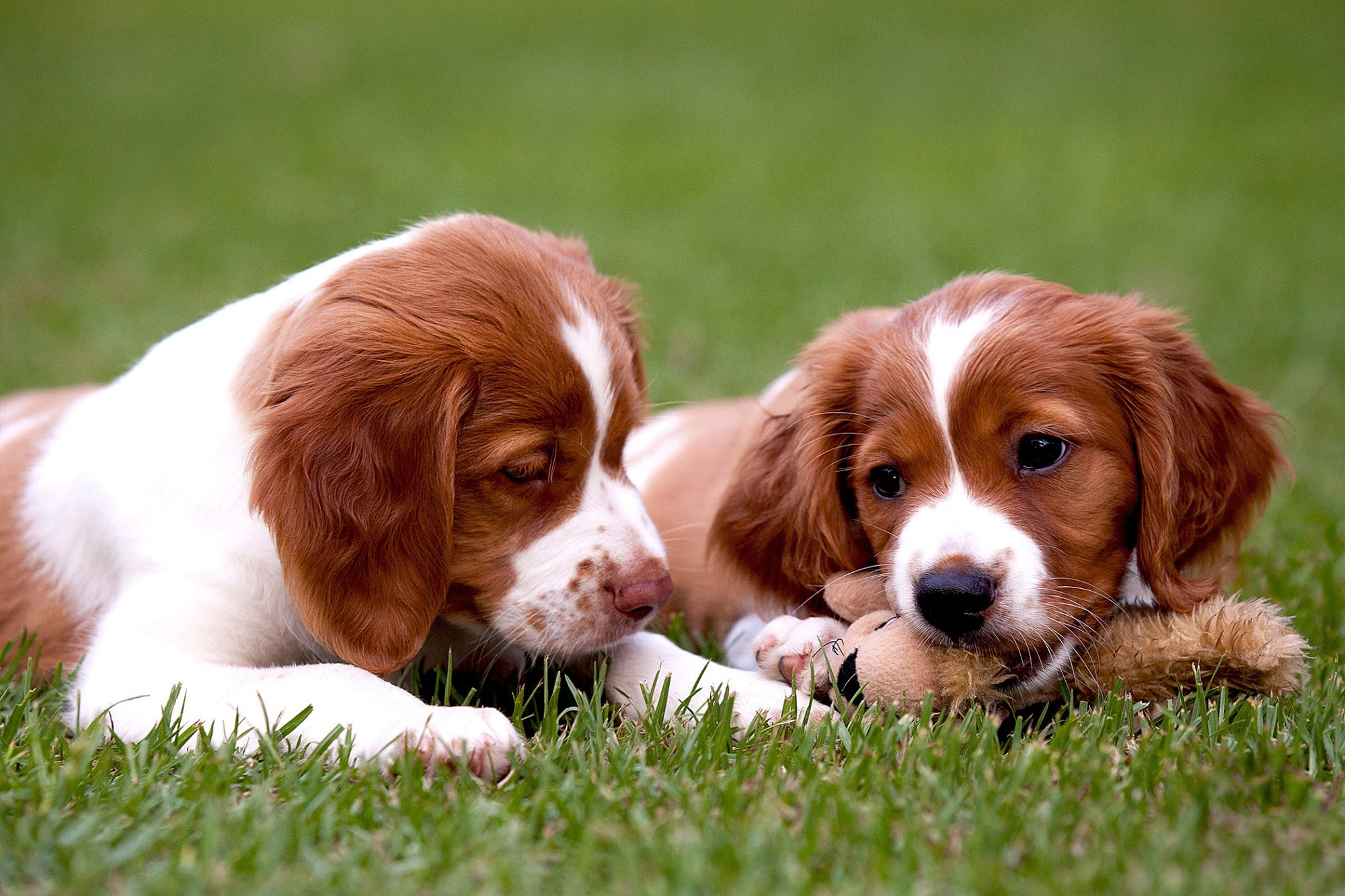 Two brittany spaniel puppies play in grass with dog toy