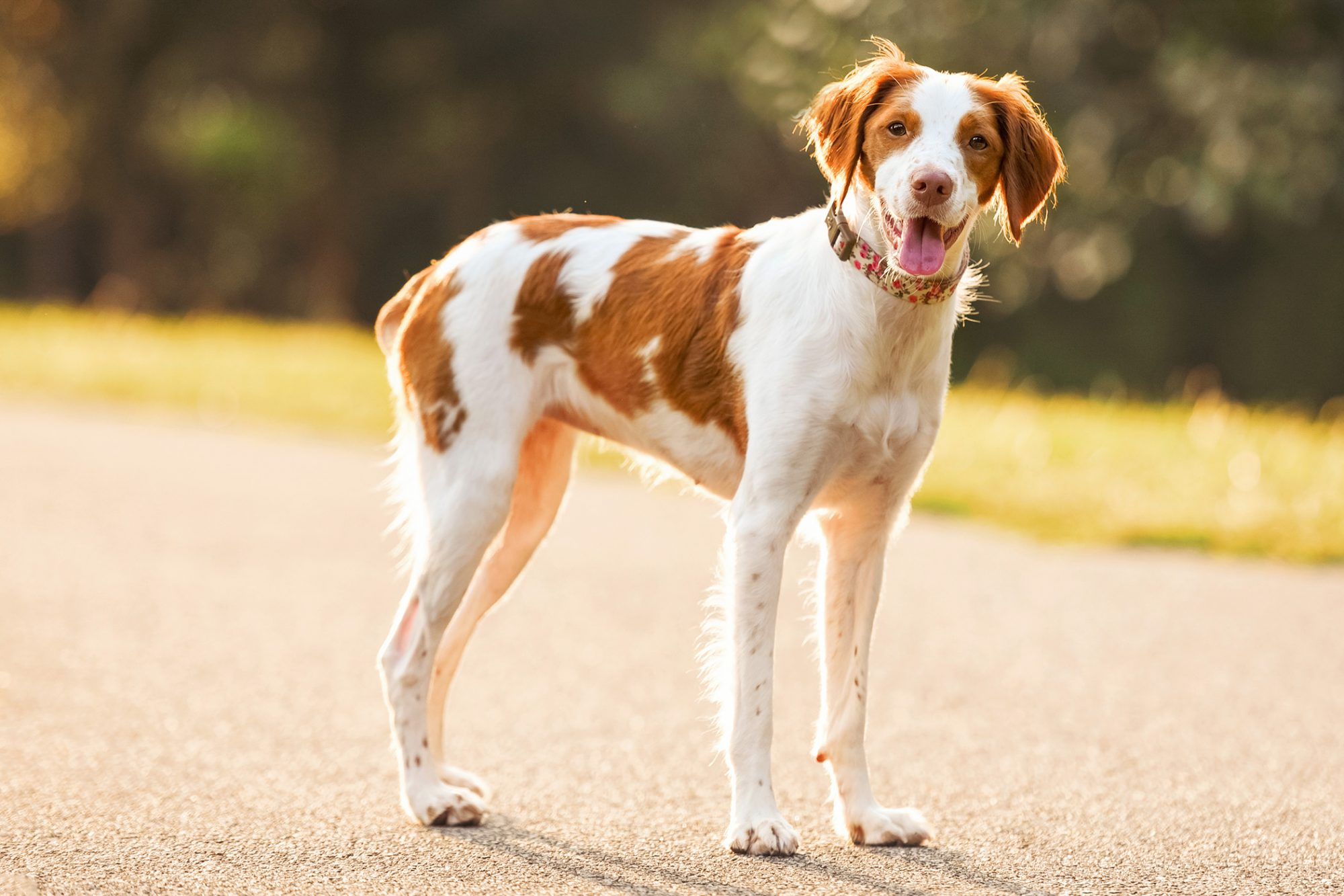 Brittany spaniel stands in middle of road