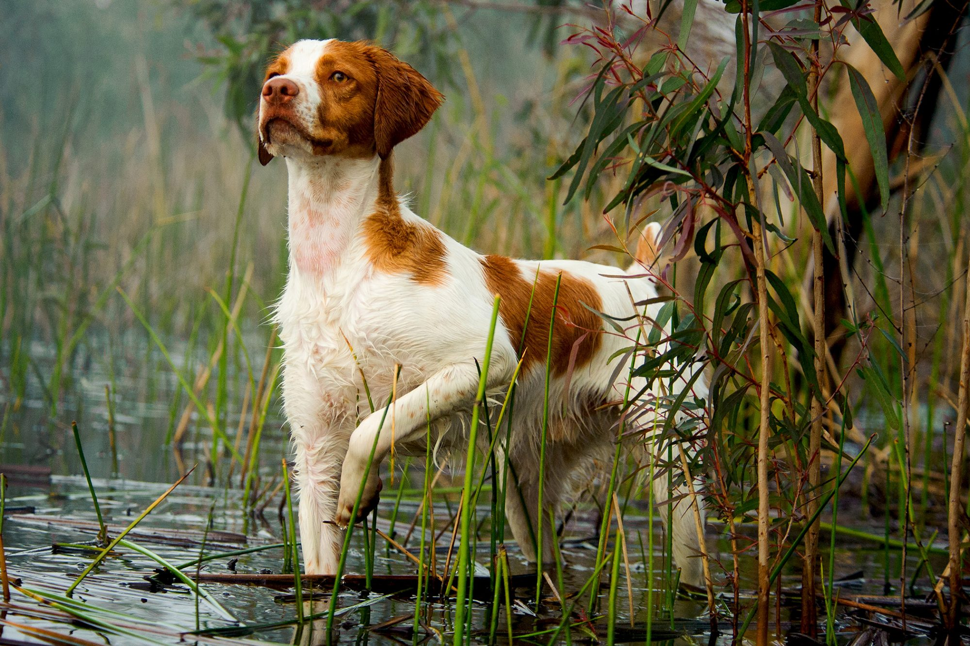 Brittany spaniel dog stands on point in water