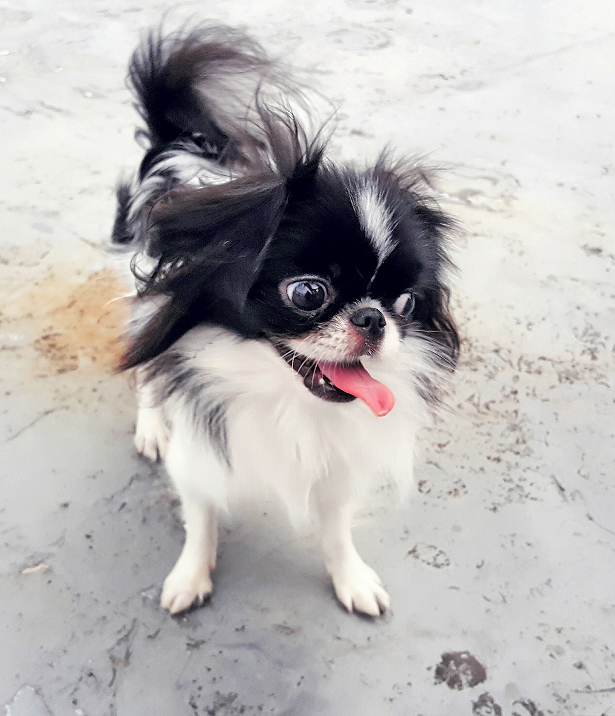 Japanese chin shot from above while standing on cement floor