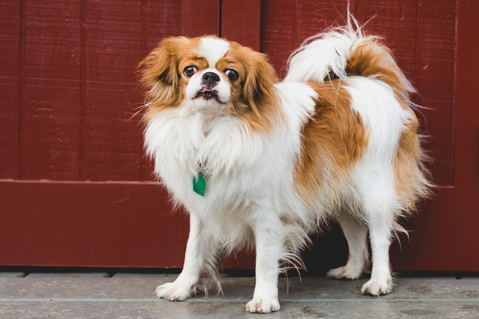 White and orange japanese chin stands in front of red door
