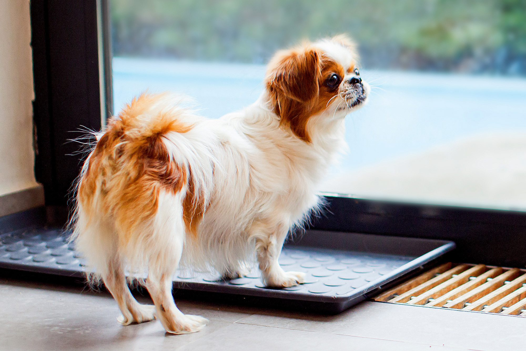 Small japanese chin stands and looks outside sliding door
