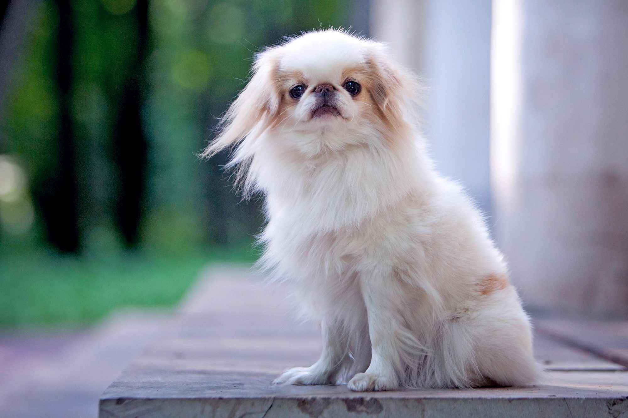 White japanese chin sits on outdoor steps