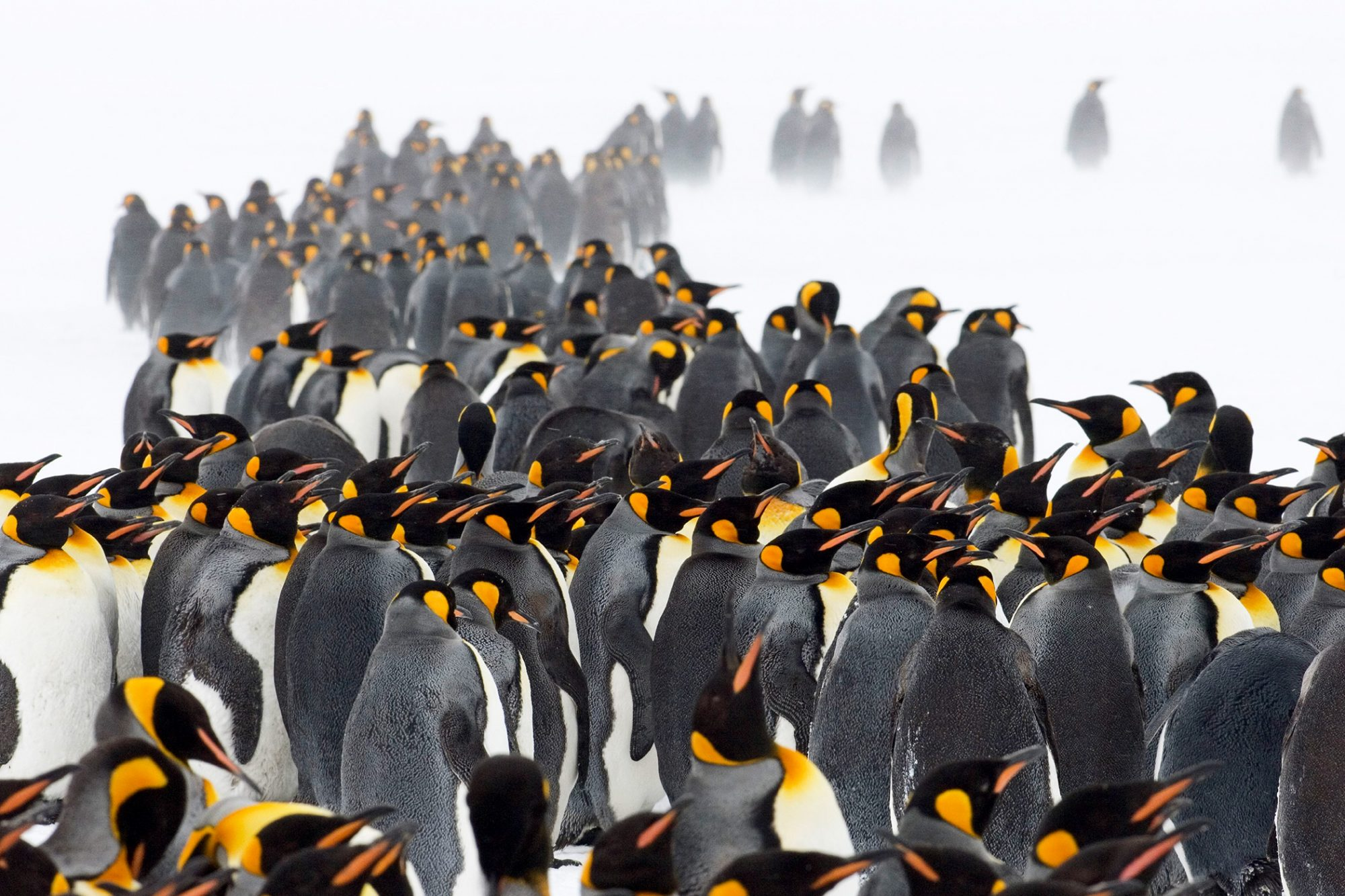 Bunch of yellow and white penguins