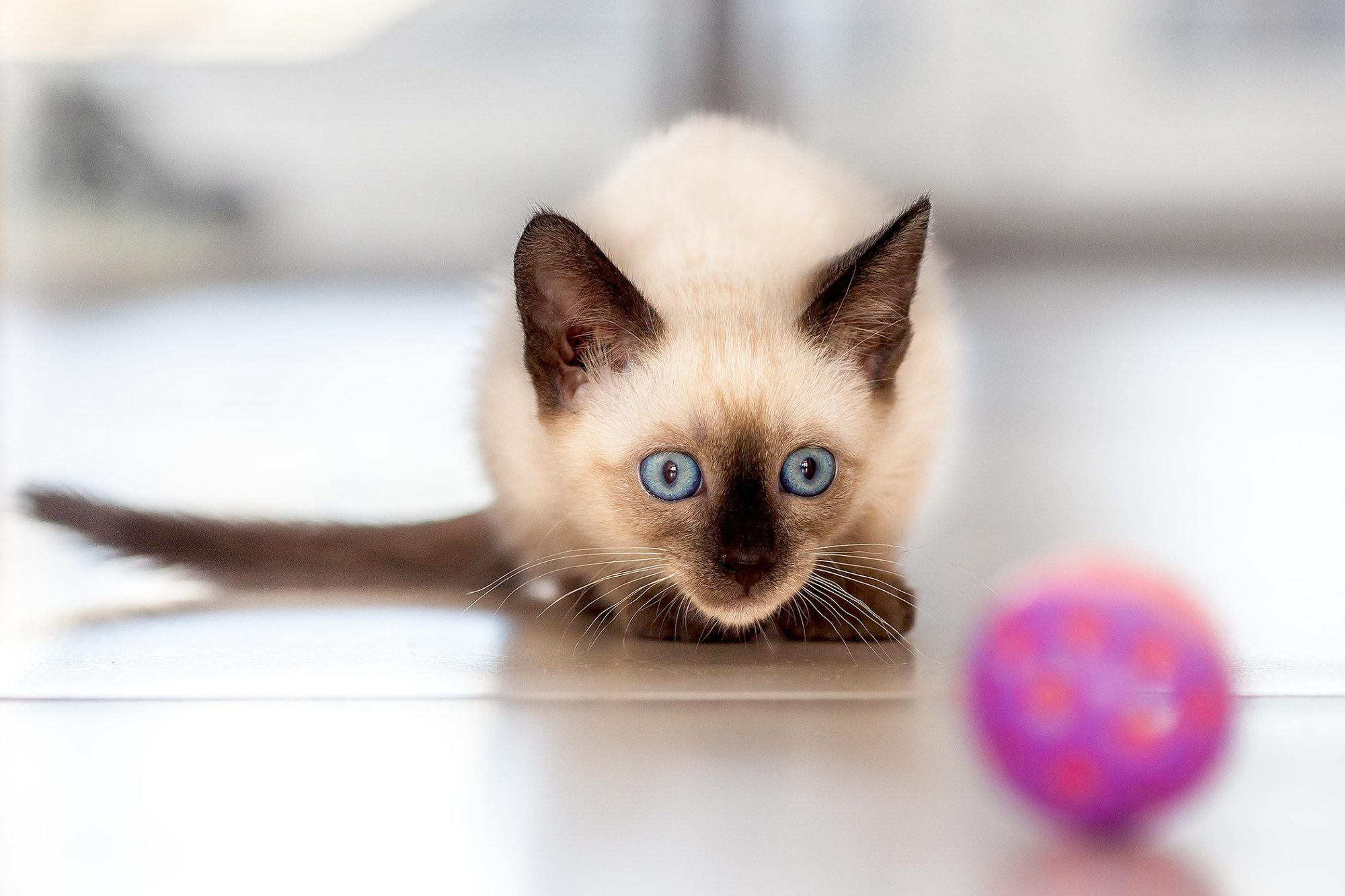 Siamese kitten stares intently at pink rubber ball