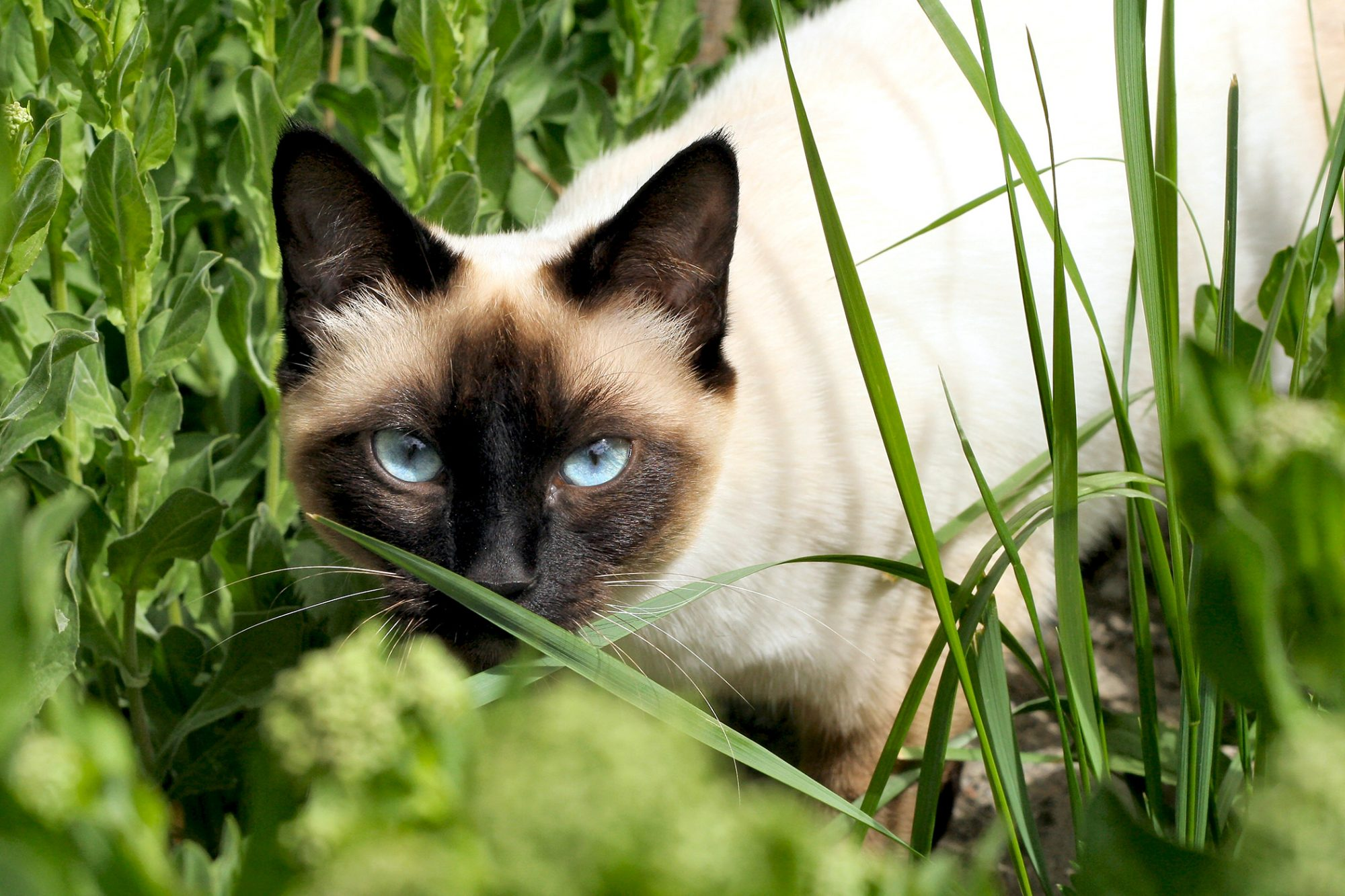 Siamese cat crouches in grass