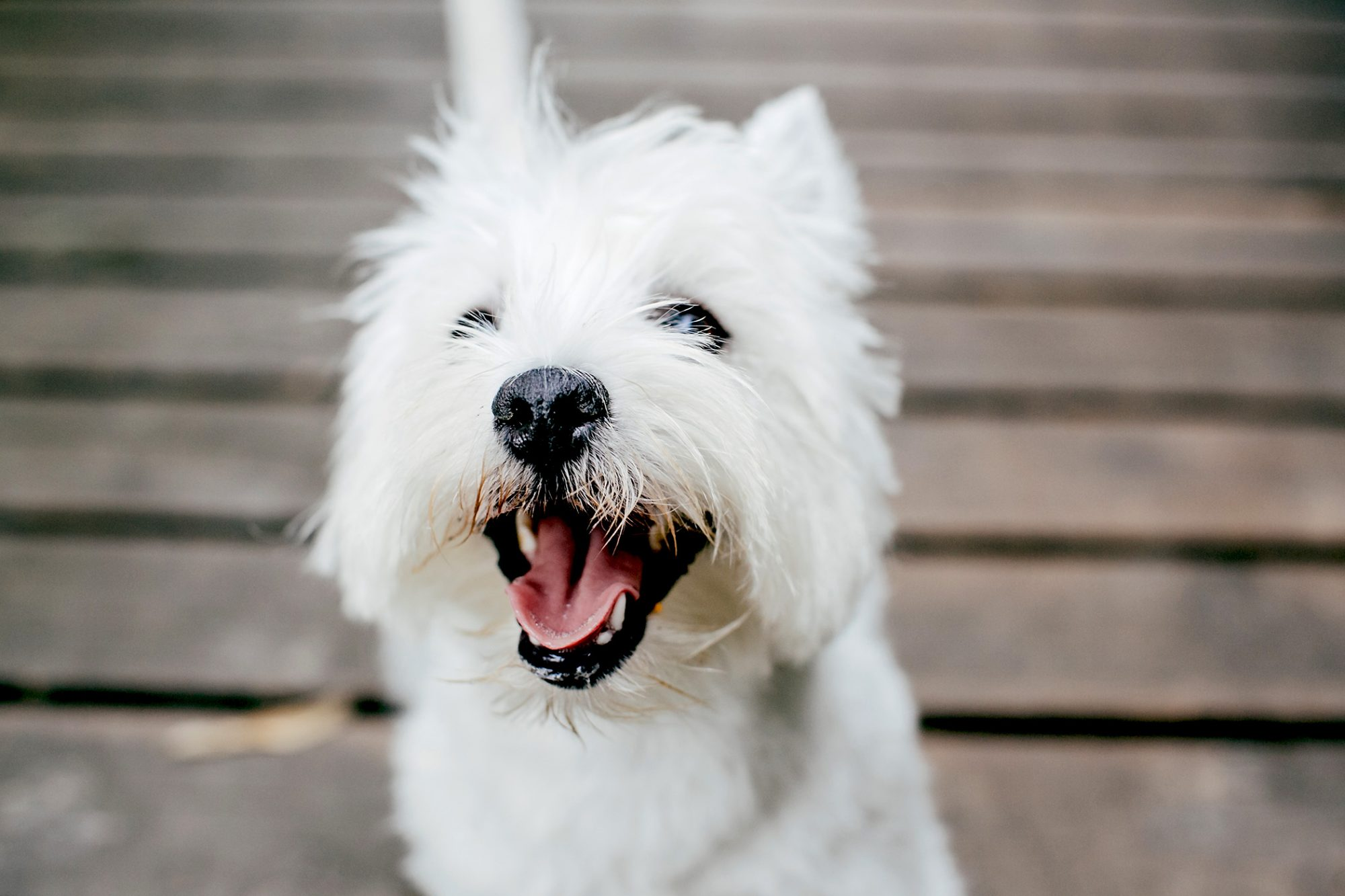 Close up west highland white terrier on deck