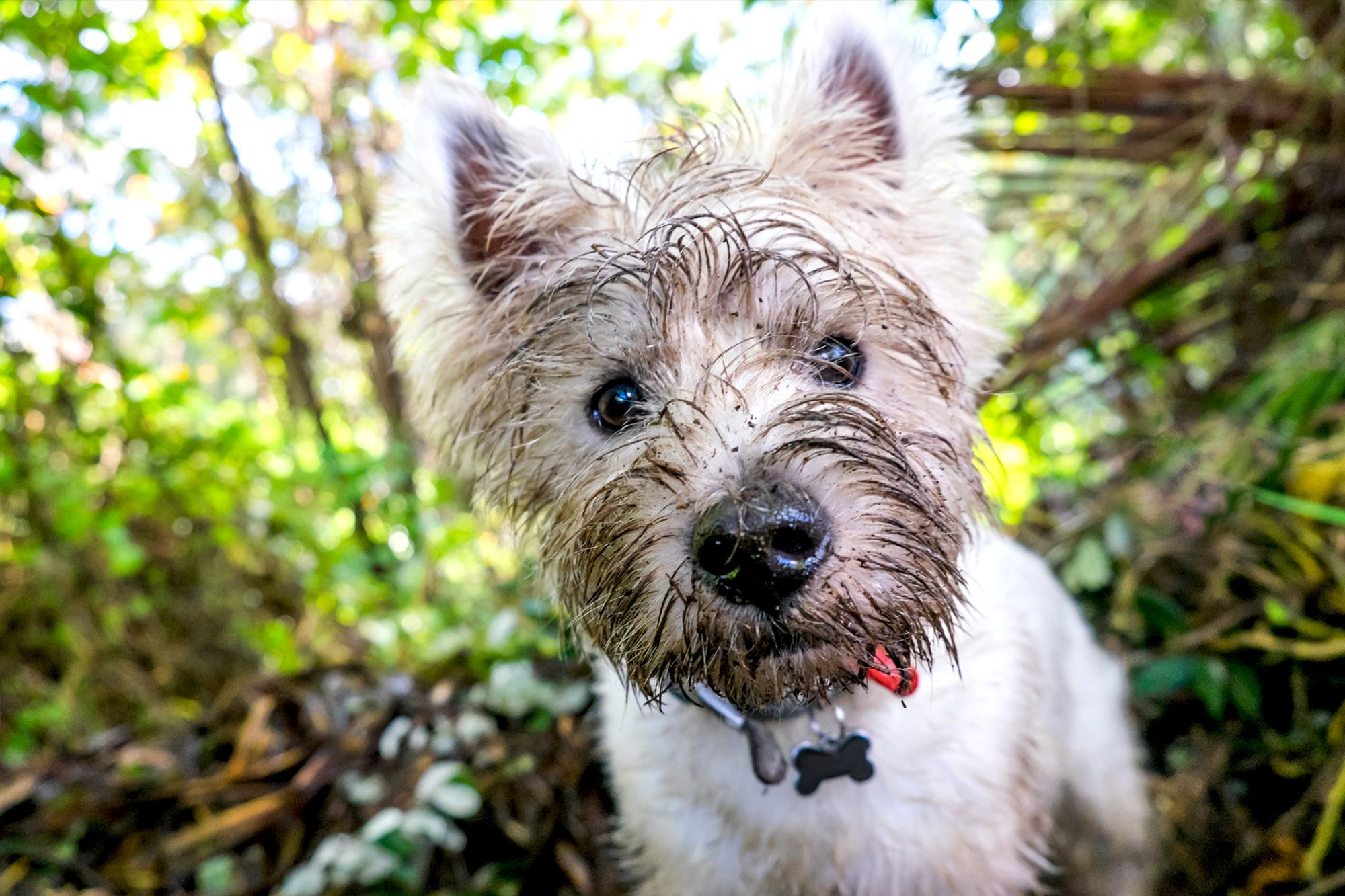 Close up of muddy west highland white terrier