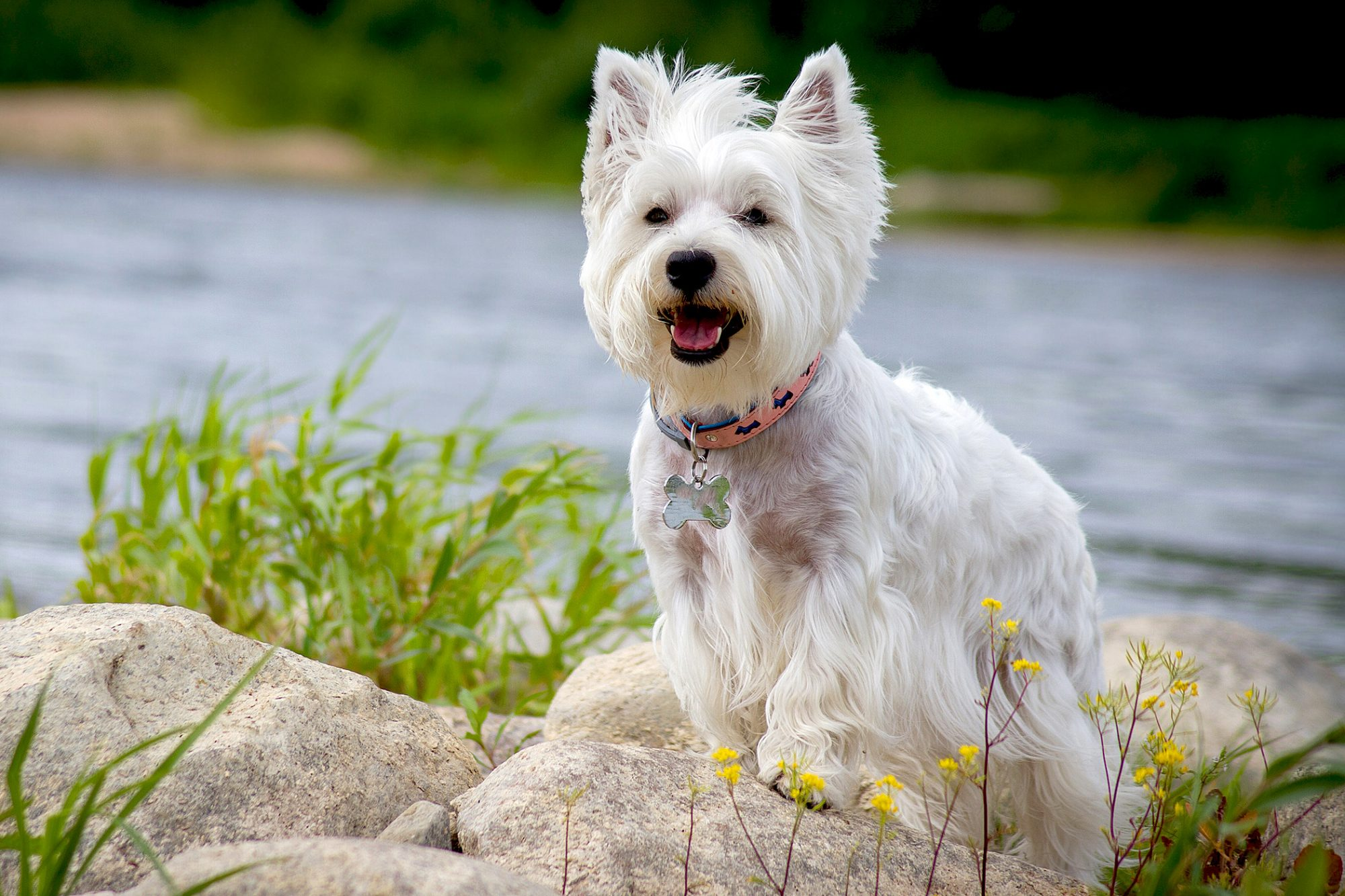 West highland terrier stands on rocks near river