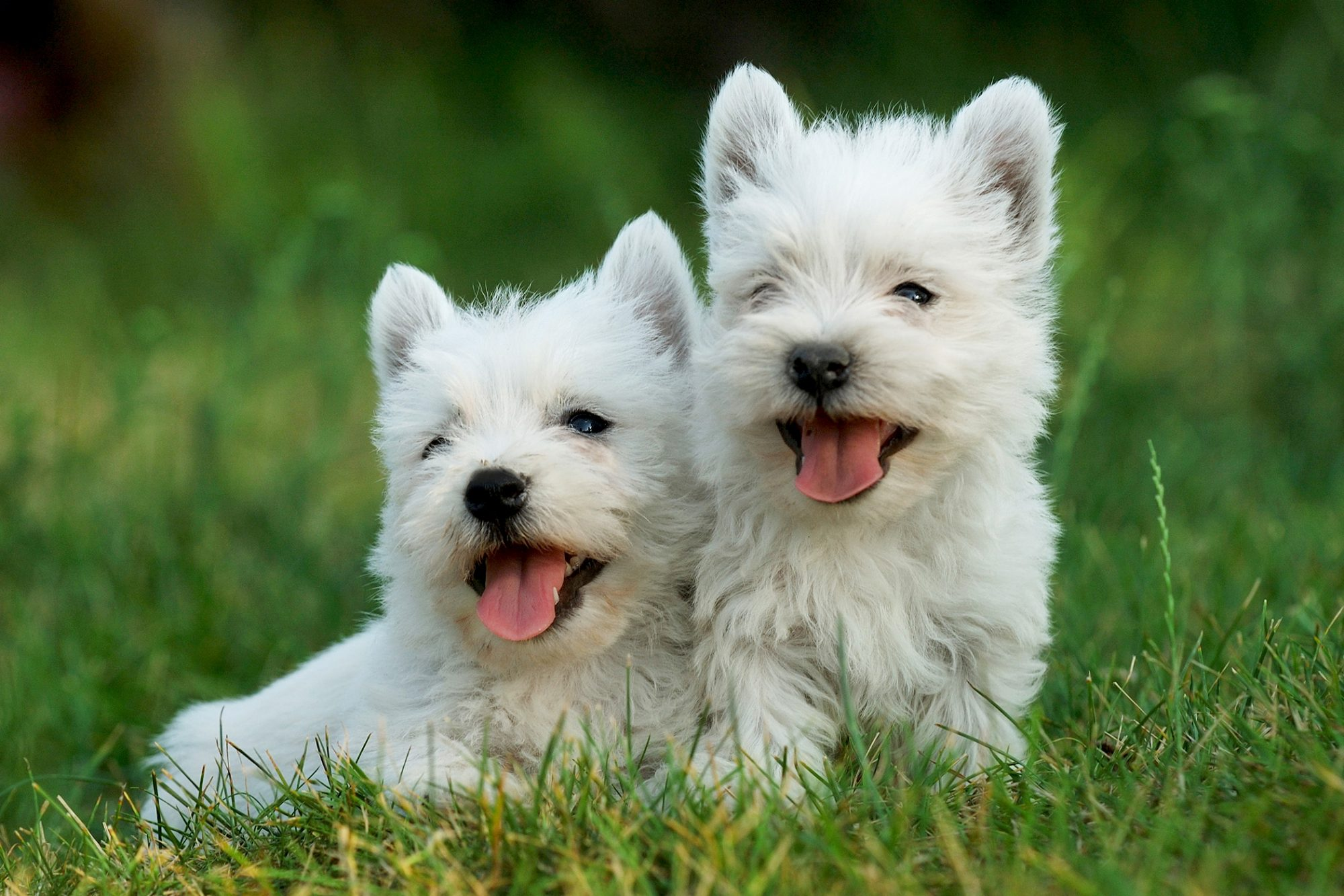 Pair of west highland white terrier puppies laying together in grass