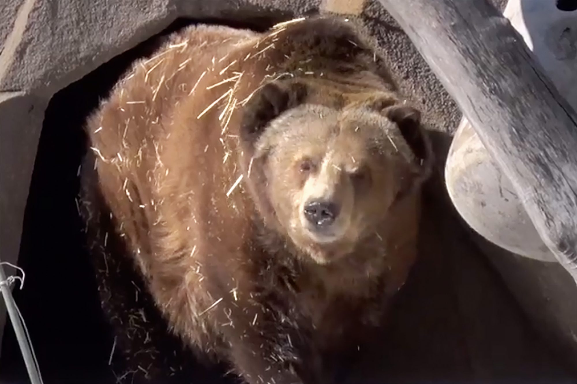 Bear steps out of cave