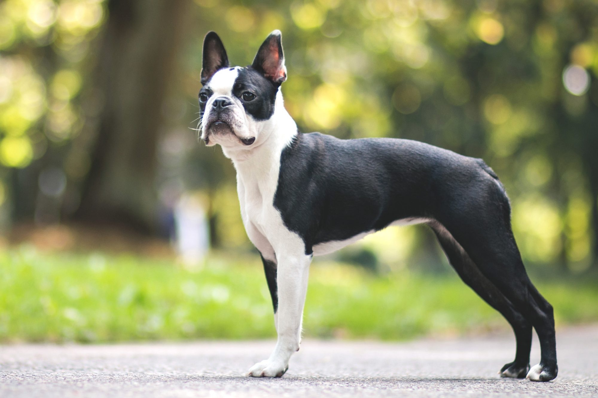 White and black boston terrier stands on sidewalk