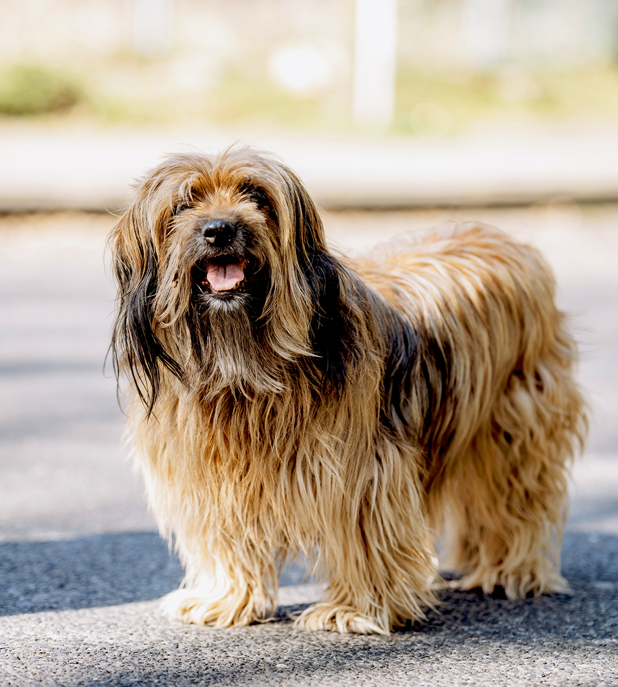 Longhaired blonde tibetan terrier stands on concrete