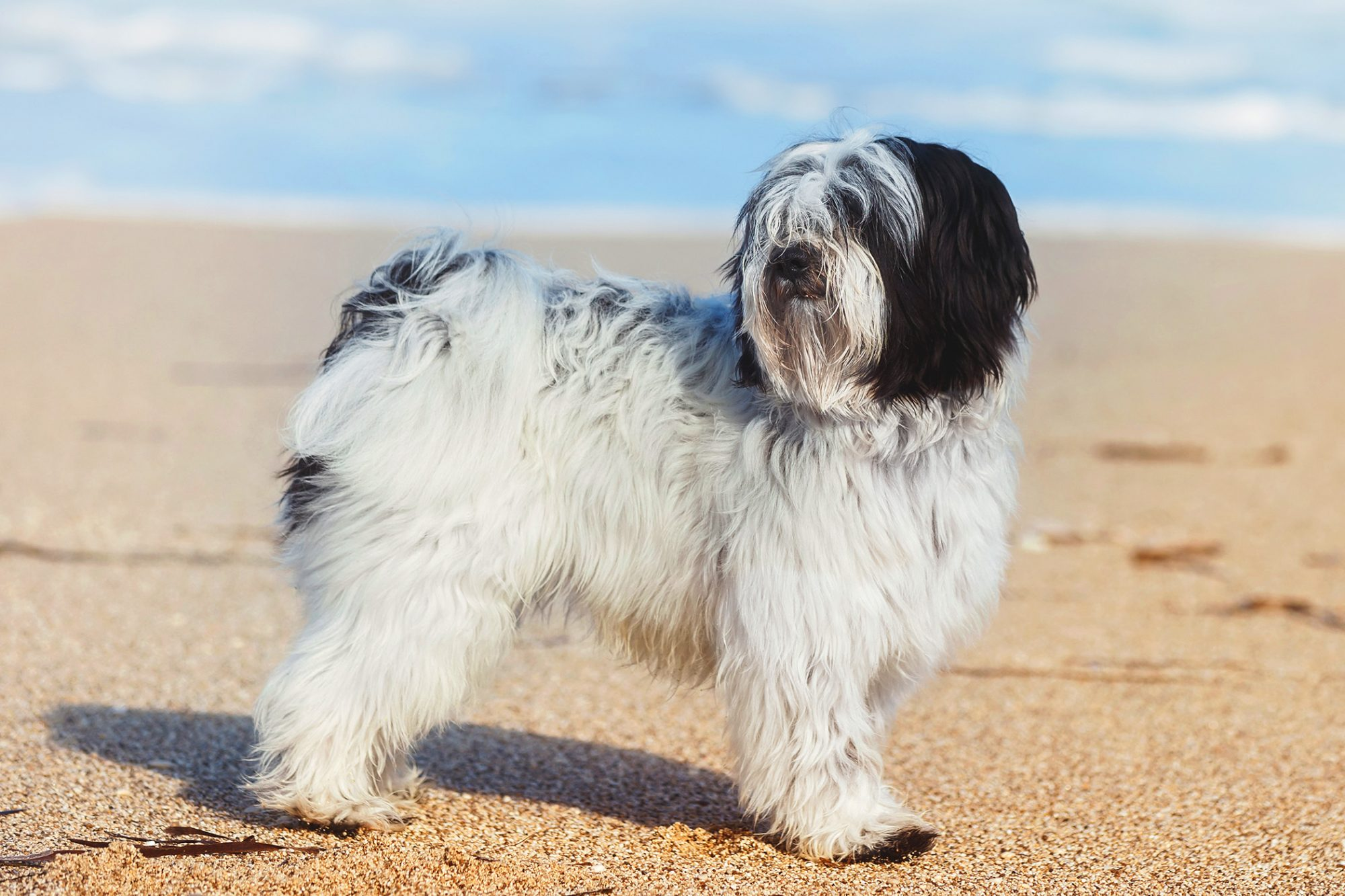 Tibetan Terrier sanding on beach
