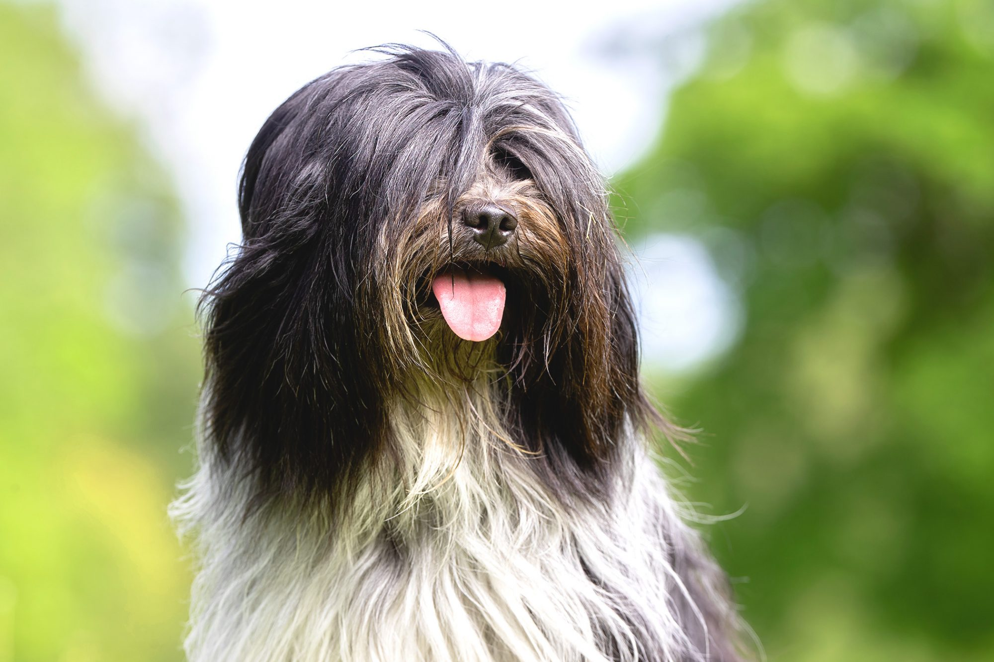 Long-haired tibetan terrier sticks tongue out