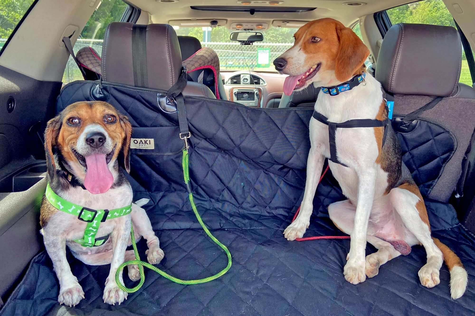 Two beagles relax in back of car