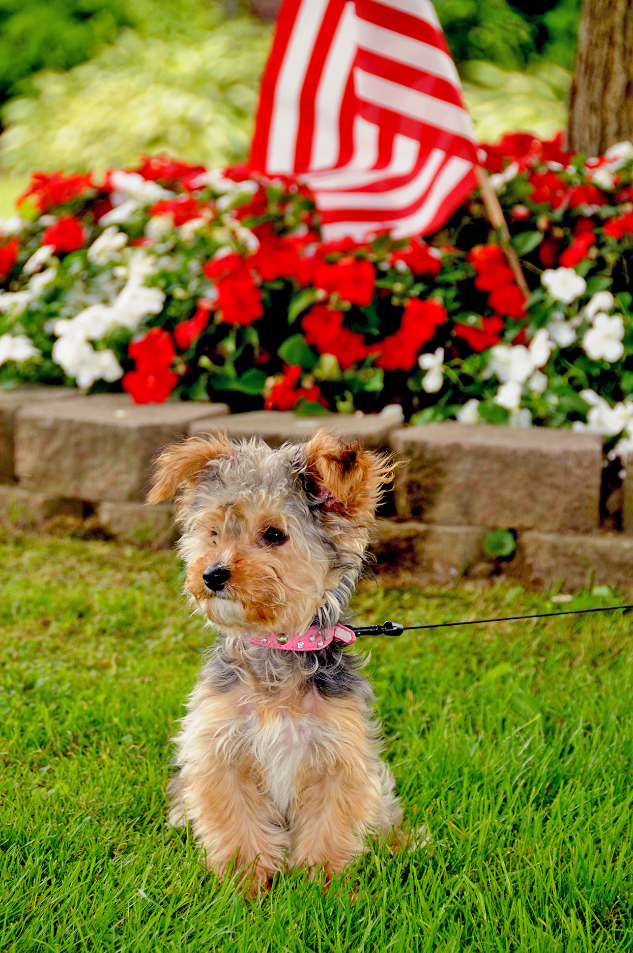Yorkiepoo sits in grass while on leash